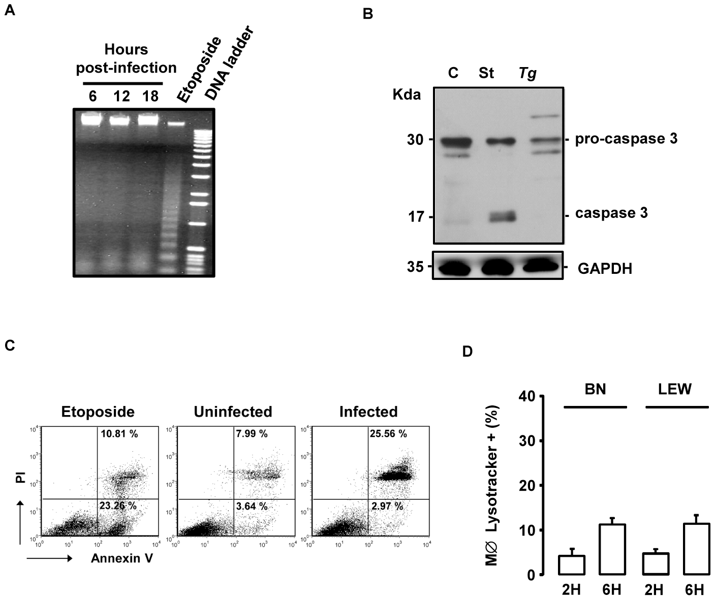 The <i>T. gondii</i>-induced death of infected LEW macrophages is neither apoptosis nor autophagy.