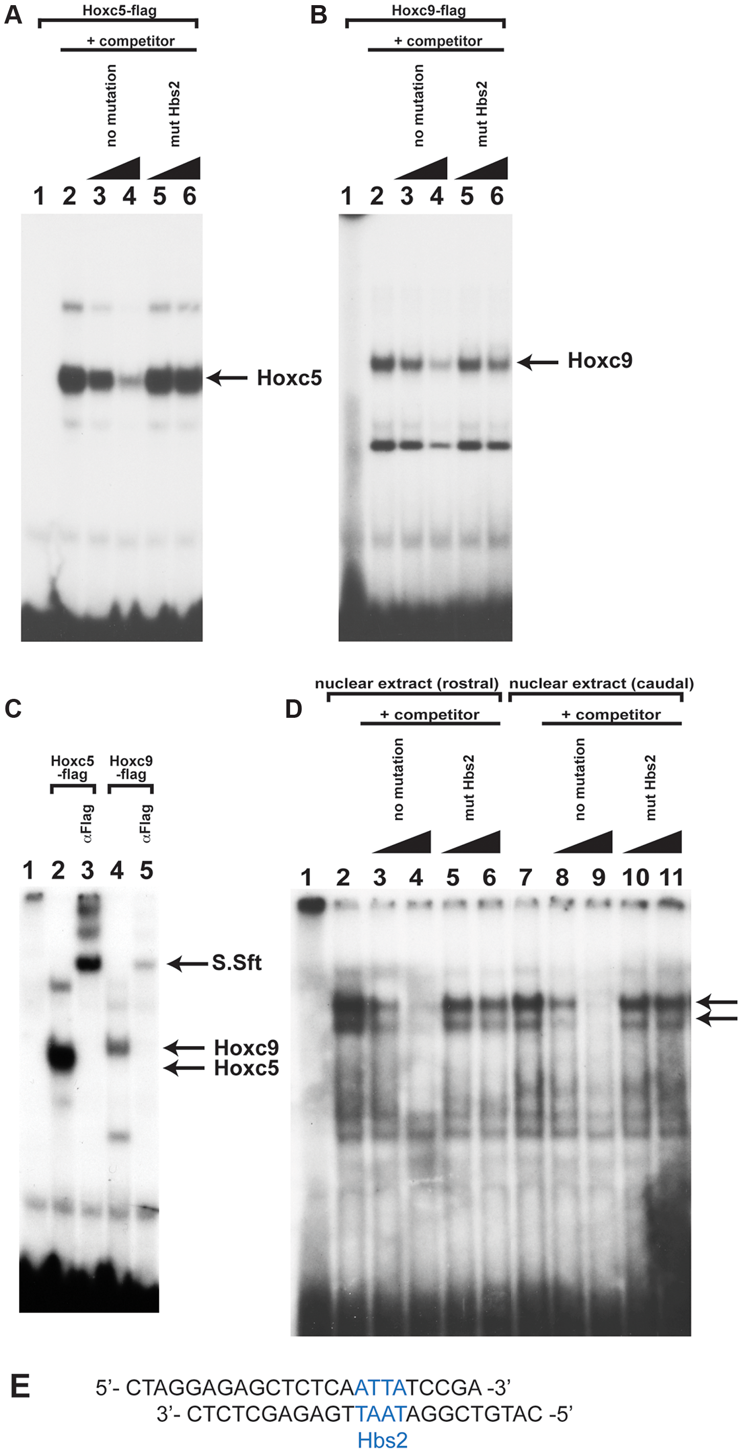 Hox proteins can bind the Hbs2 site.