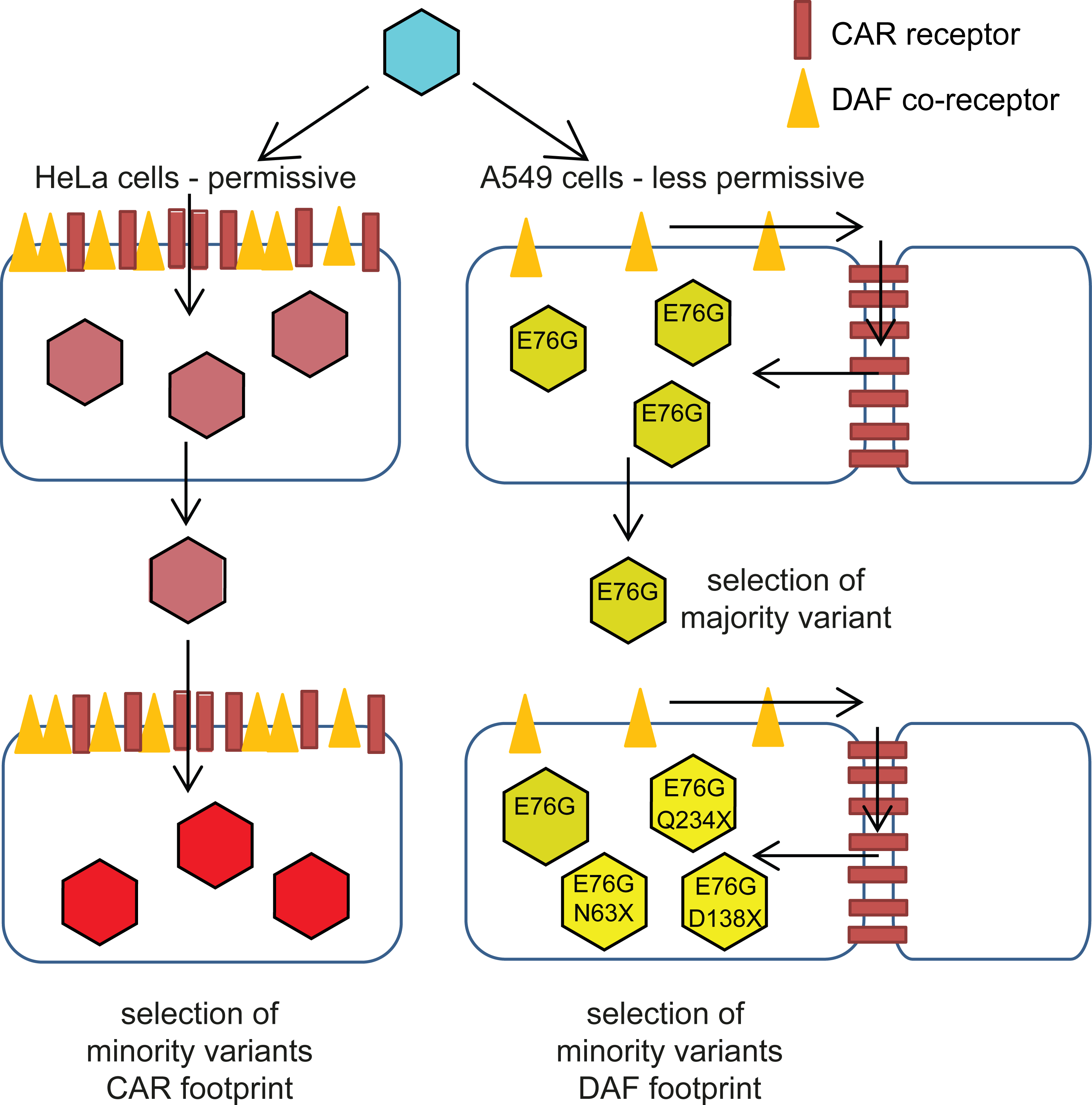 Schematic of CVB3 adaptation to differently permissive environments.
