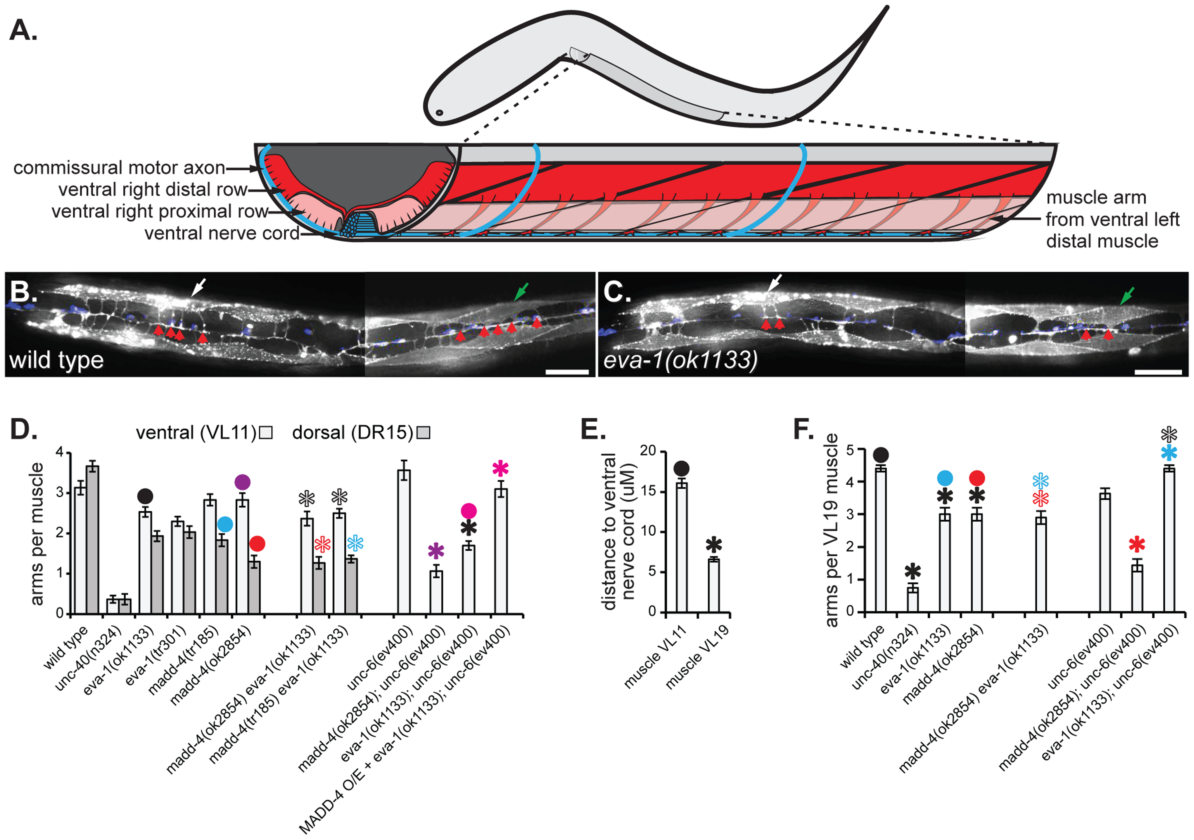 EVA-1 functions in a MADD-4 pathway to counteract UNC-6 interference.