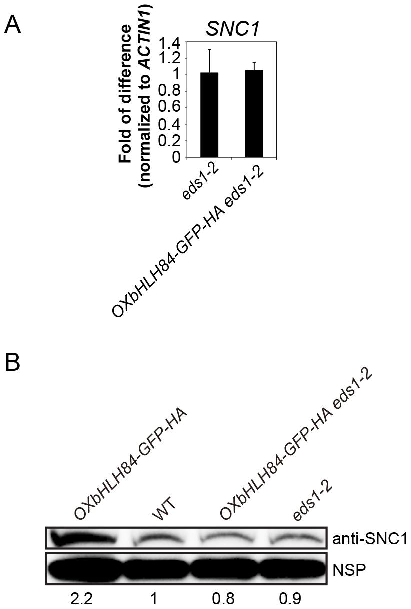 bHLH84 does not regulate <i>SNC1</i> transcription.