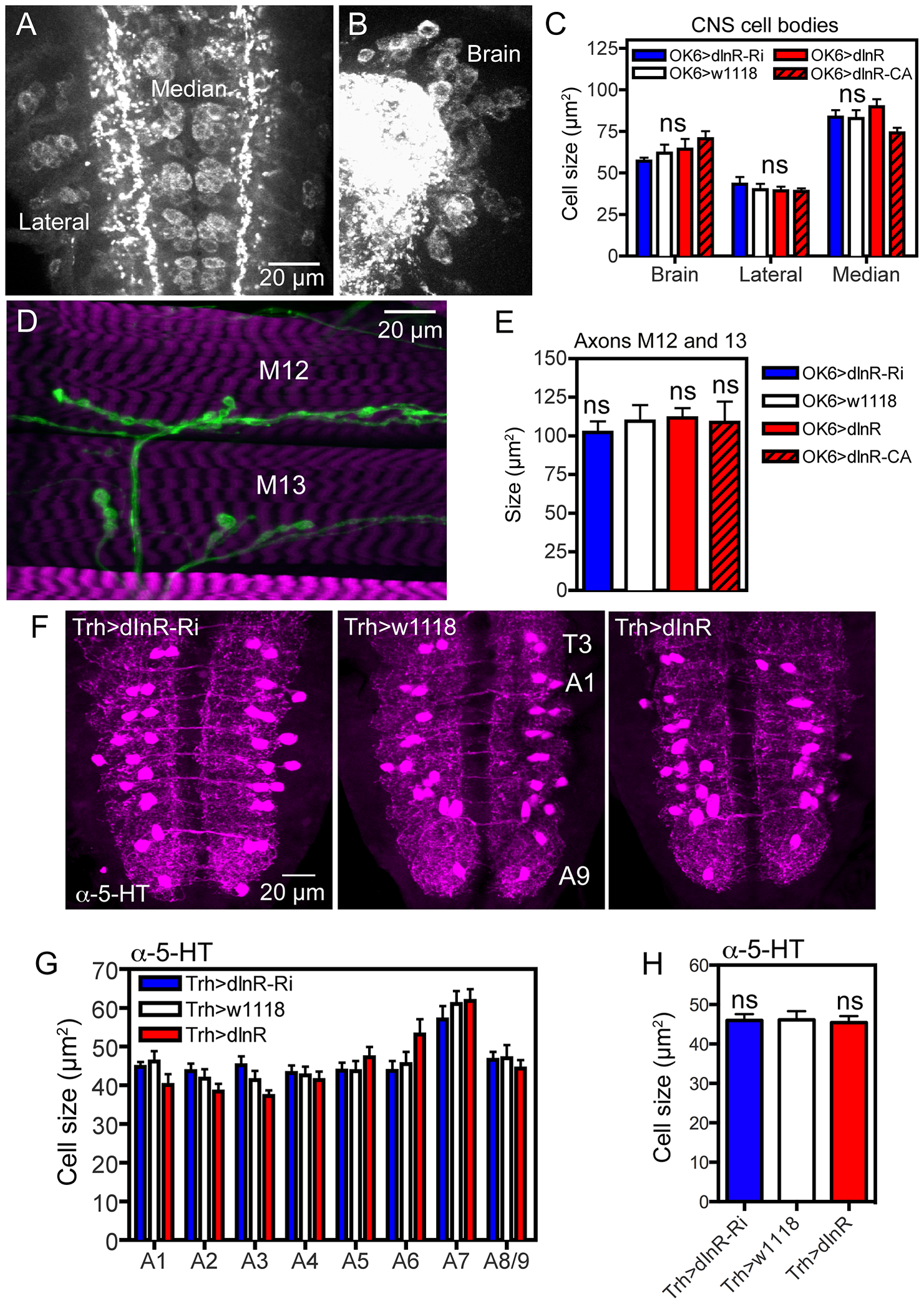 Manipulations of dInR expression in interneurons and motor neurons do not affect cell body size.