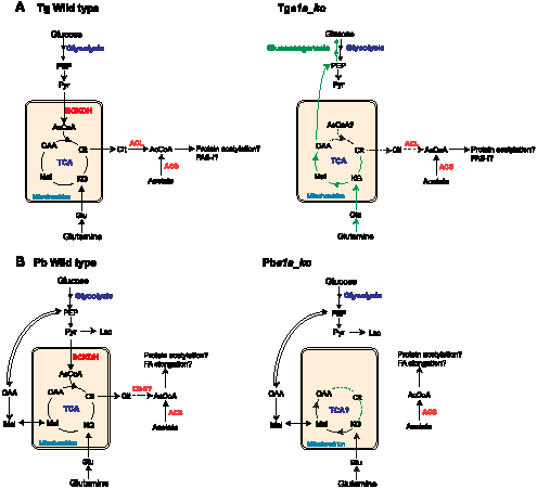 Proposed metabolic pathways, compartmentalisation and metabolic remodelling in <i>T. gondii</i> and <i>P. berghei</i>.