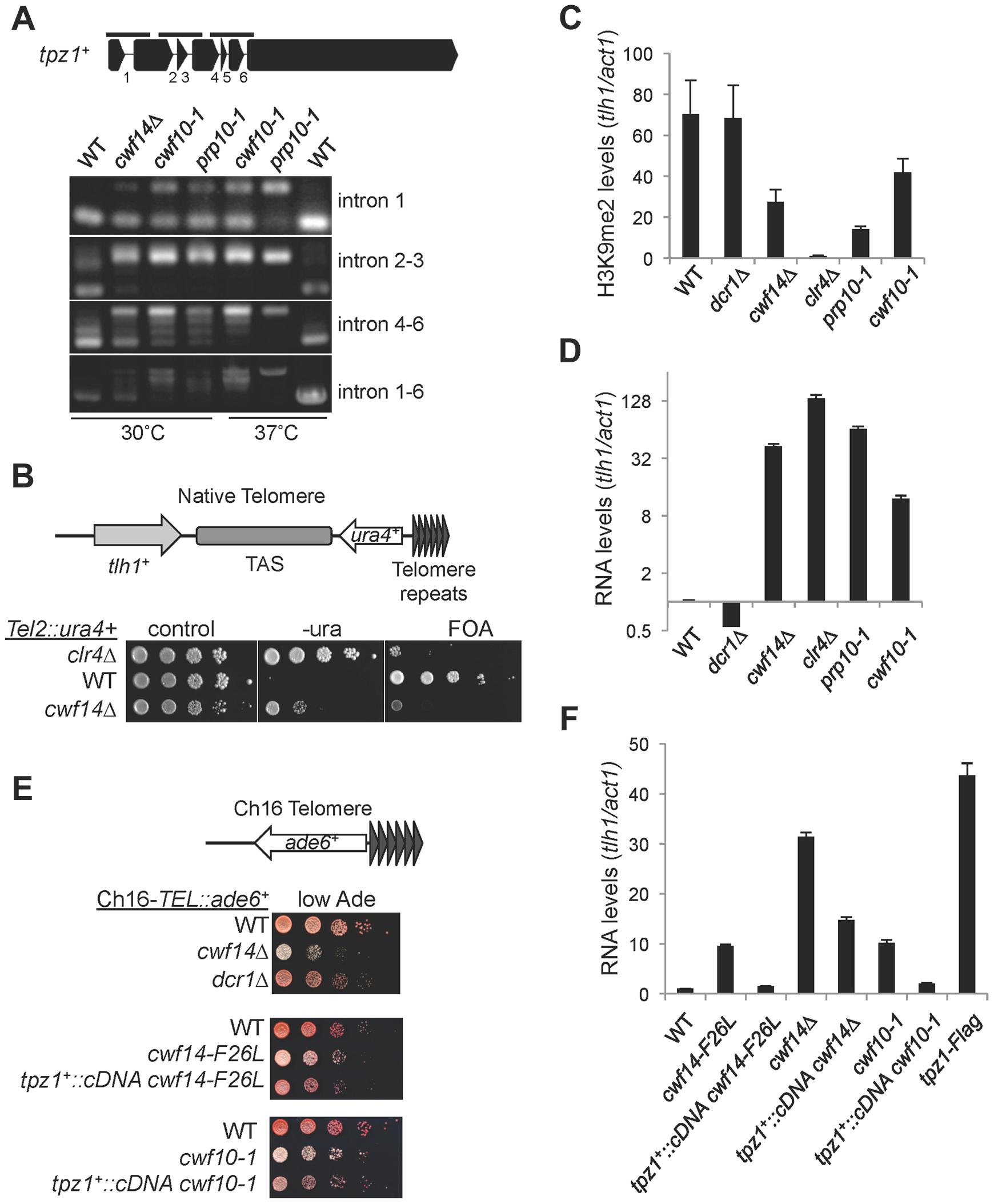 Splicing factors regulate the proper splicing of shelterin component Tpz1.