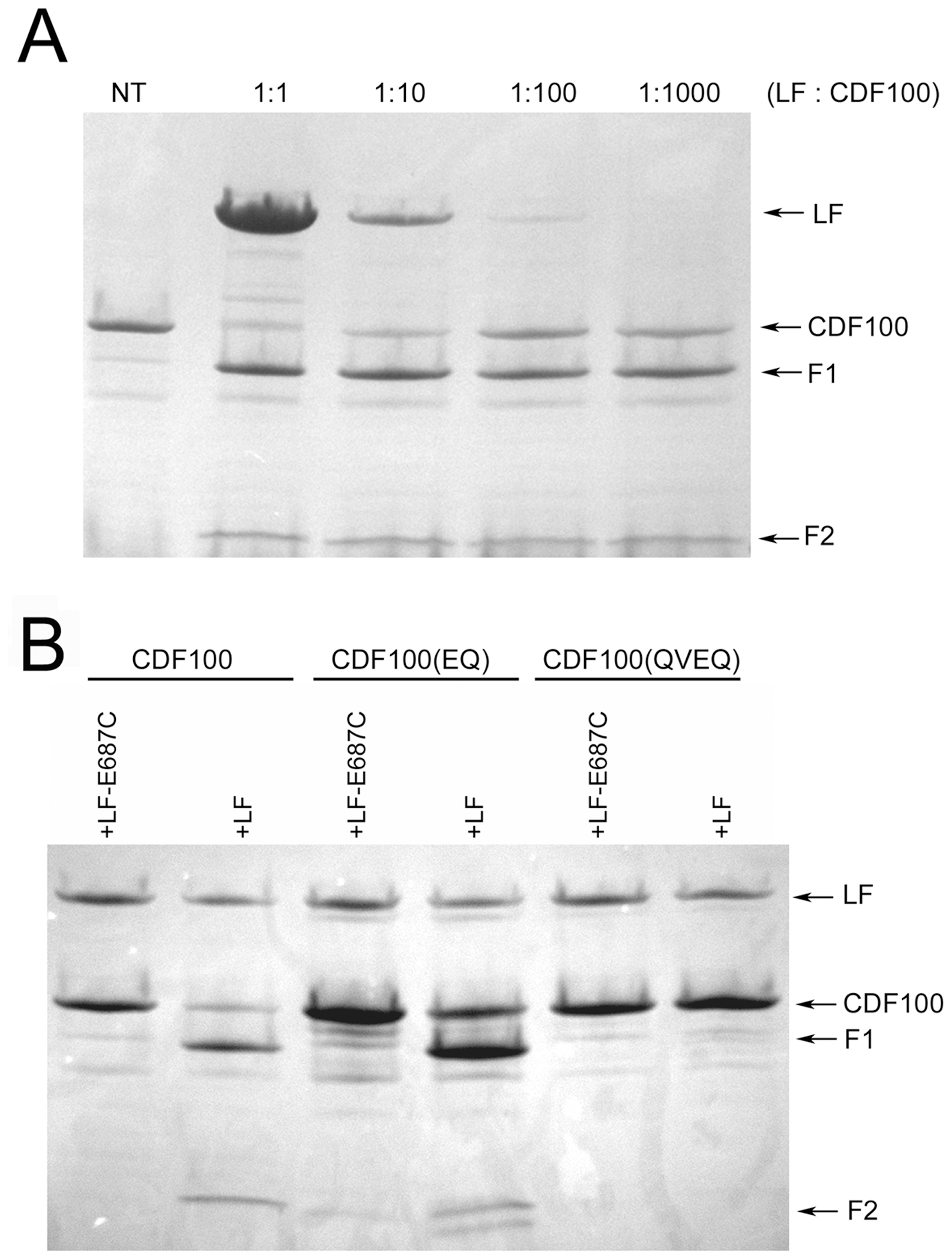 Cleavage of CDF100 by LF.