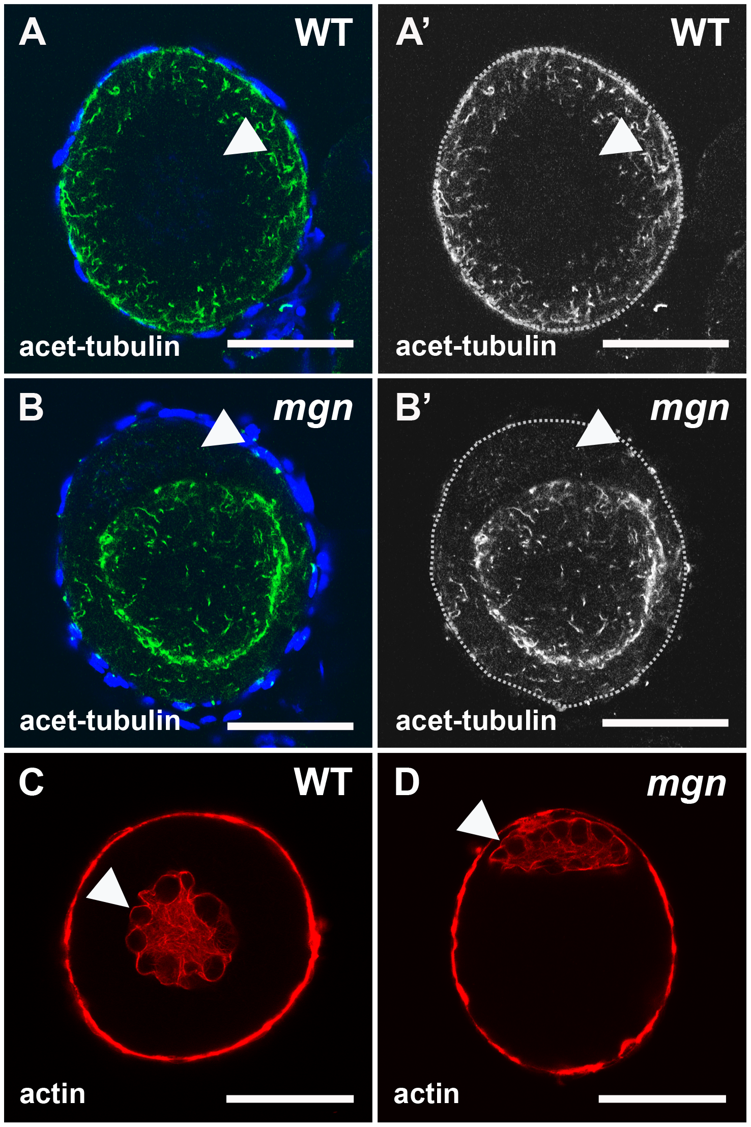 Localization of stable microtubules but not actin is disrupted in <i>mgn</i> mutant oocytes.