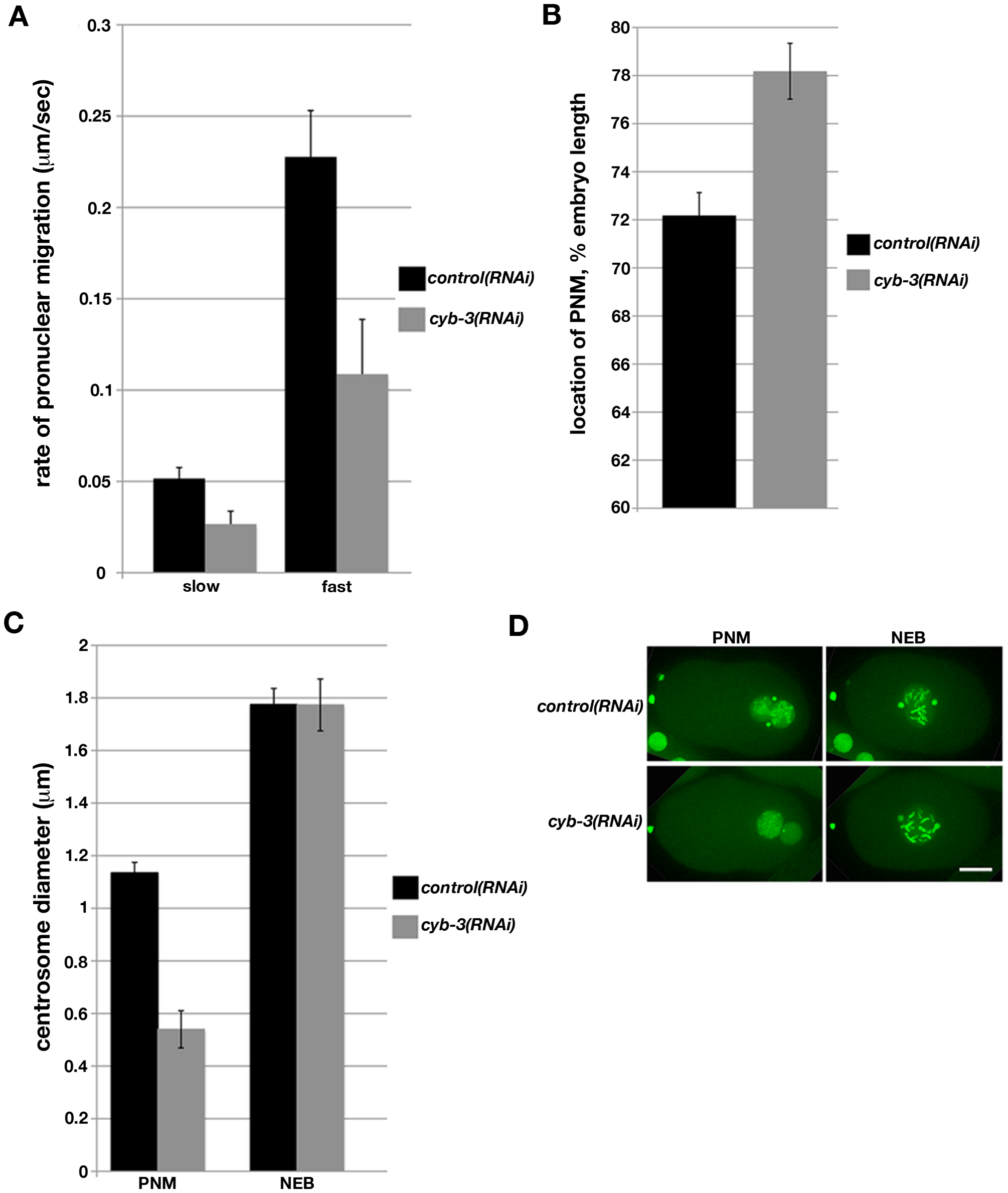 Depletion of <i>C. elegans</i> Cyclin B3 leads to defects in pronuclear migration and synchrony of chromosome condensation.