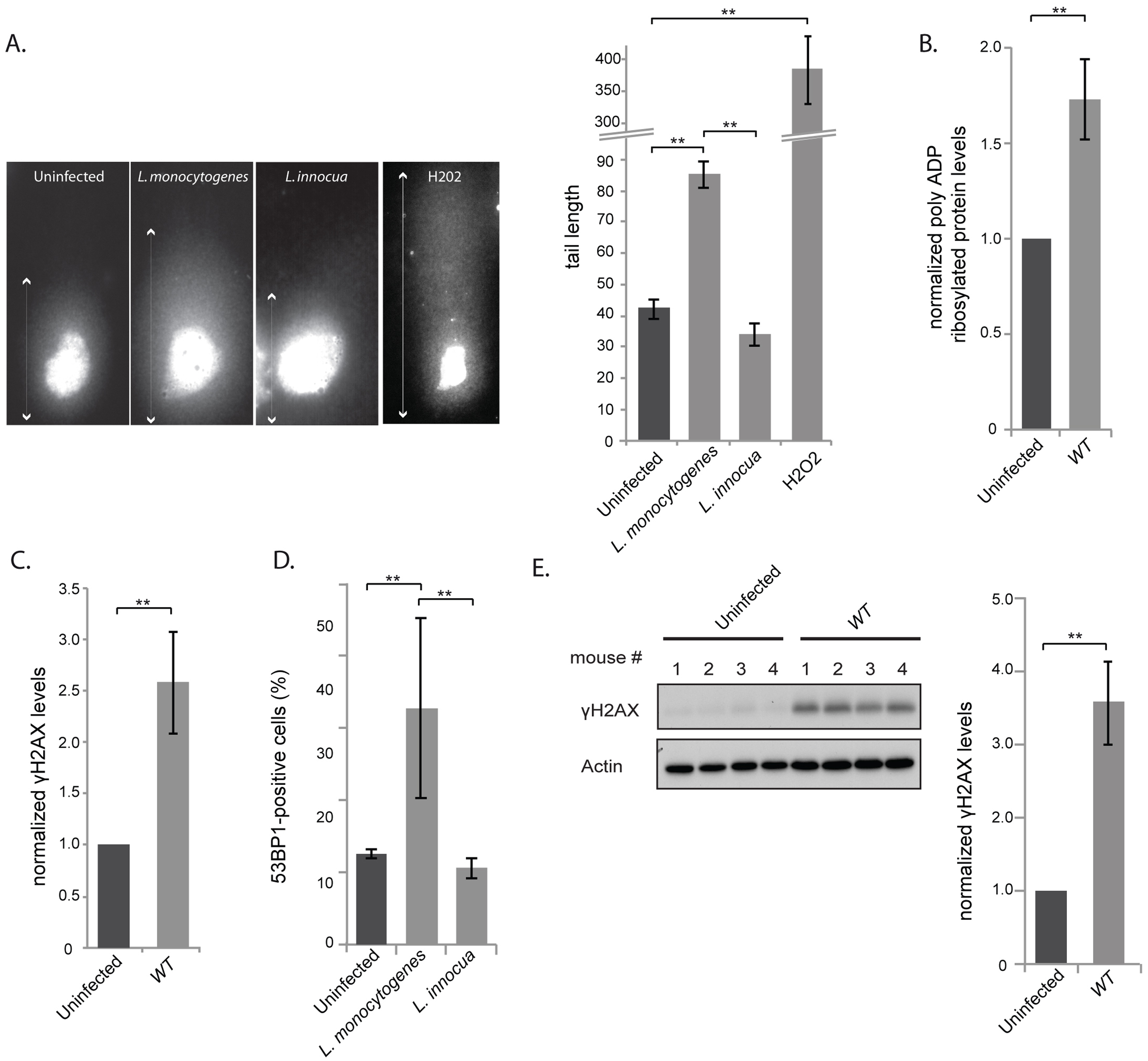 <i>L. monocytogenes</i> induces DNA breaks and mildly activates the DNA damage response.
