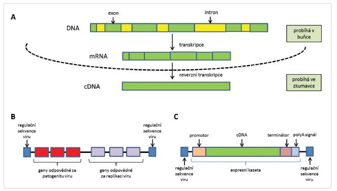 Schéma přípravy cDNA (A), struktura původního (B) a upraveného (C) virového vektoru