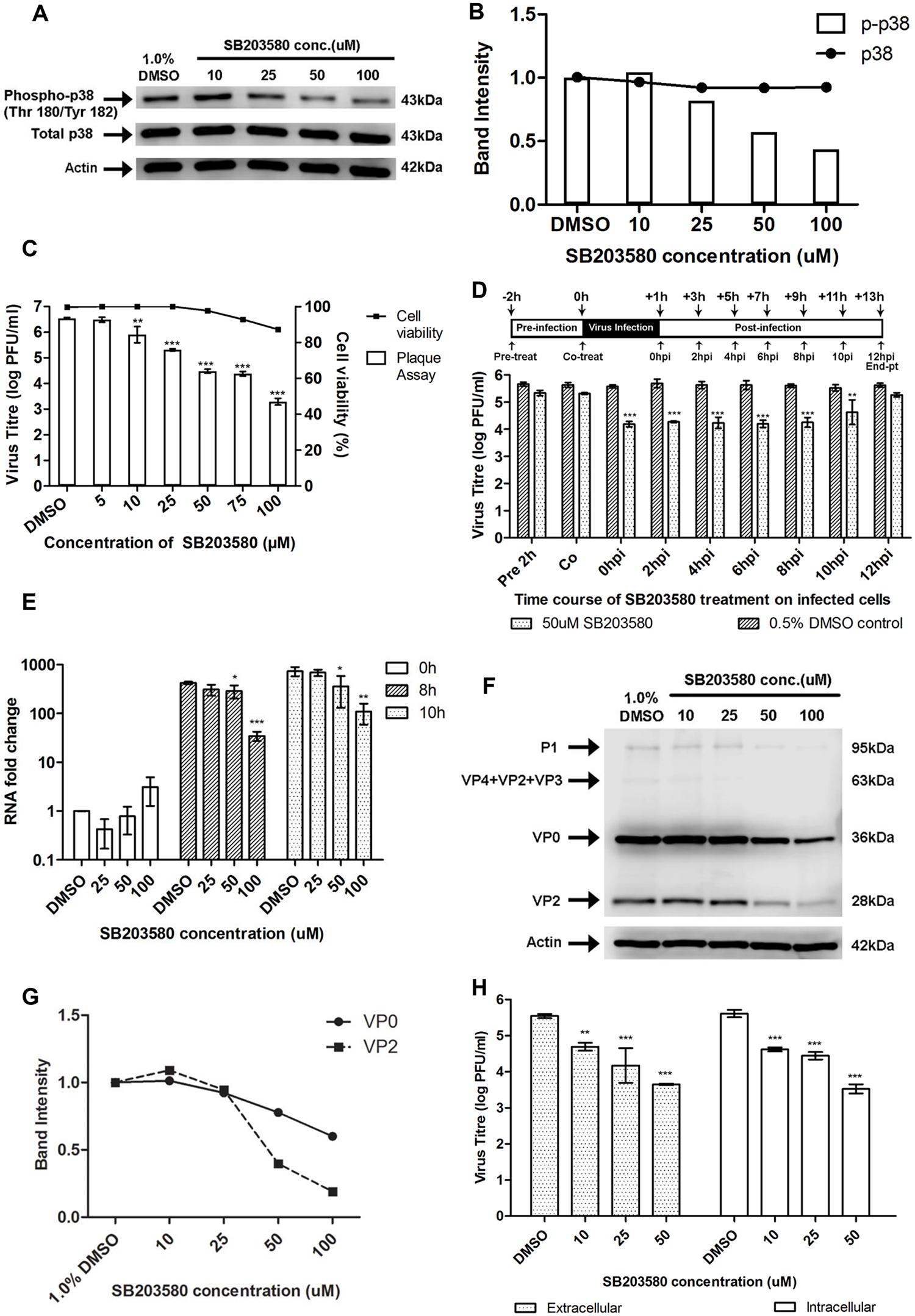 Treatment with p38 MAPK inhibitor (SB203580) inhibits EV71 replication at the viral protein synthesis stage.