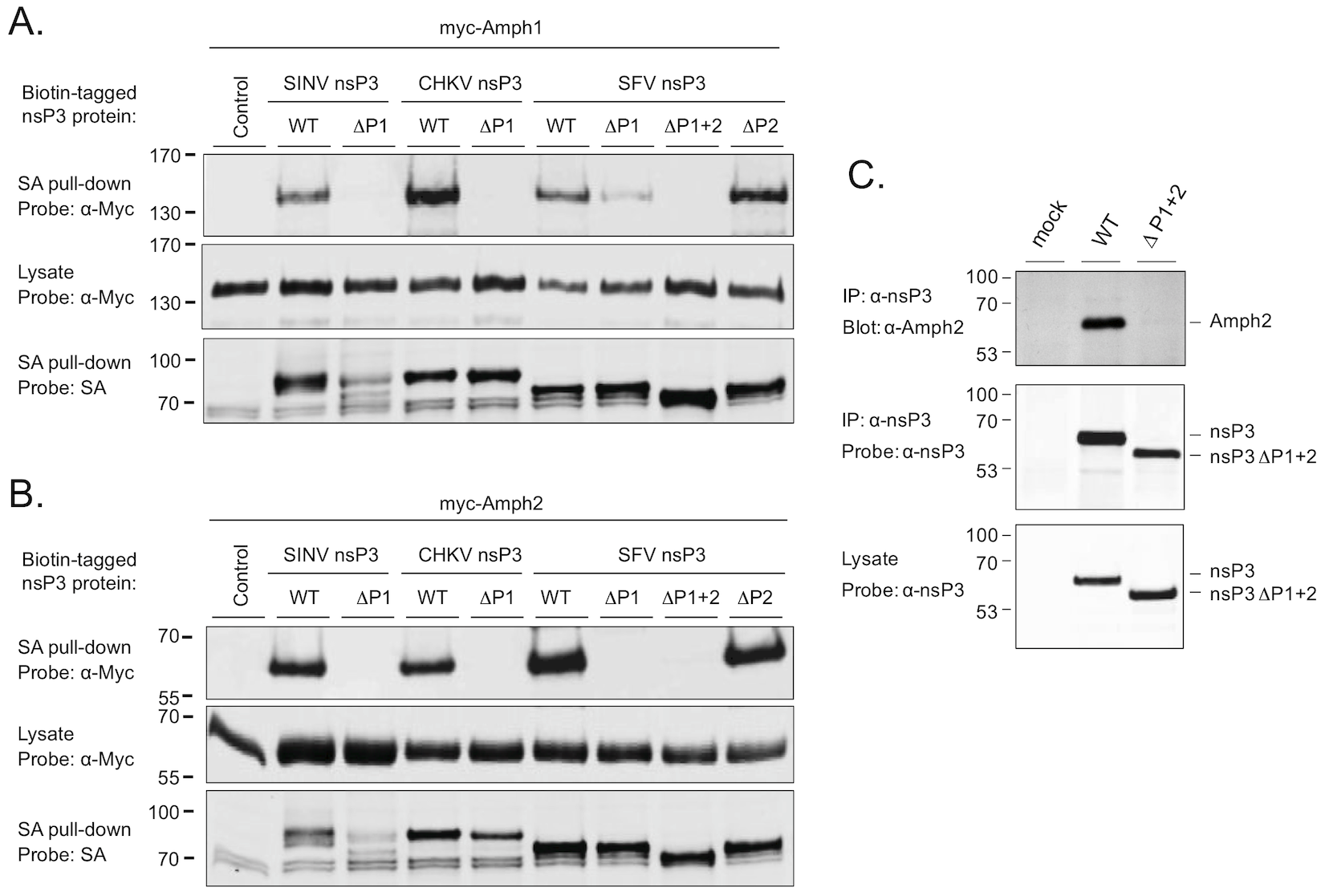 The SH3 binding site of alphaviral nsP3 proteins mediates binding to amphiphysin-1 and -2 proteins in transfected and in infected cells.