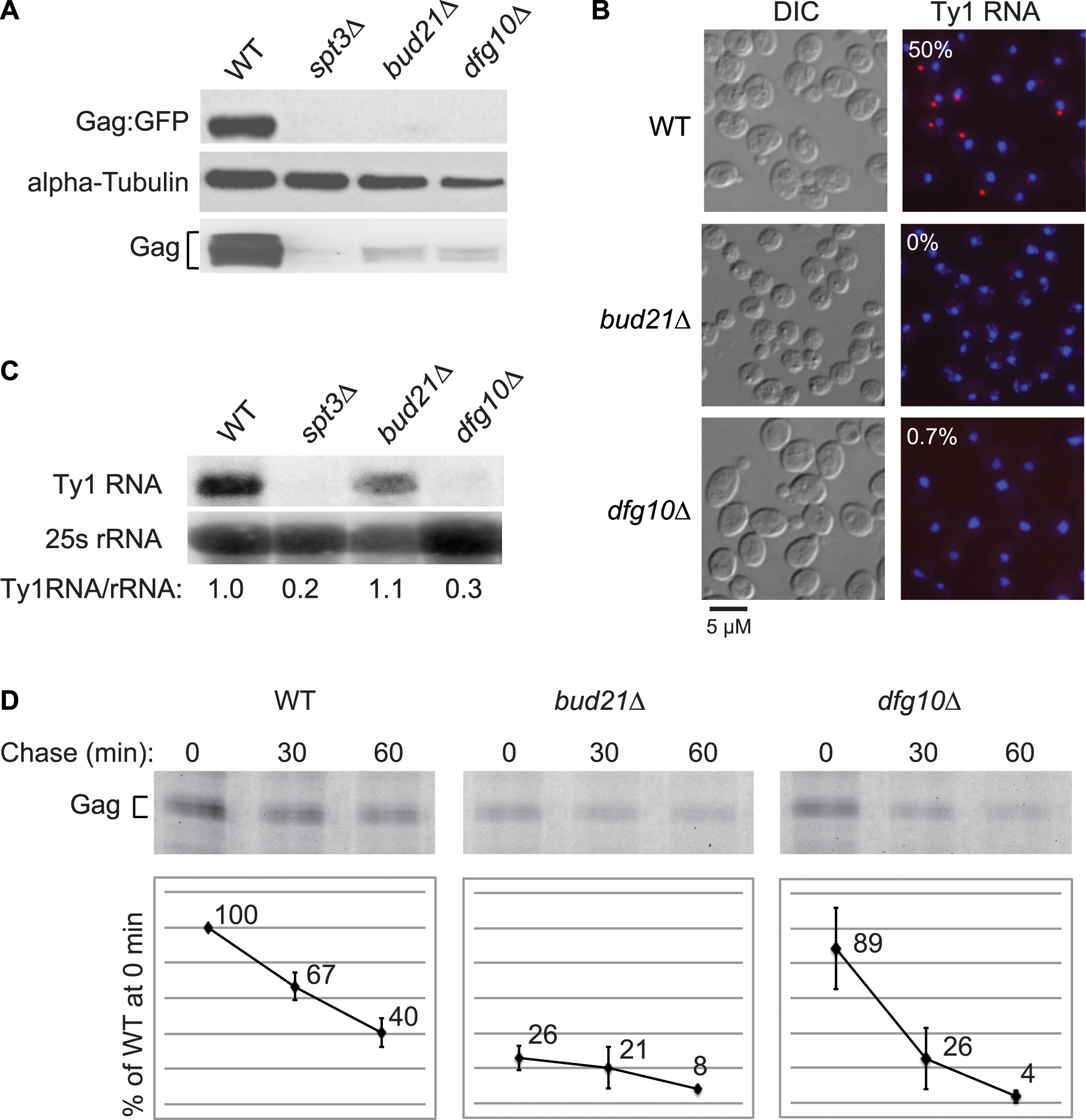 Ty1 RNA and Gag are destabilized subsequent to Gag synthesis in the N-glycosylation mutant, <i>dfg10Δ</i>.