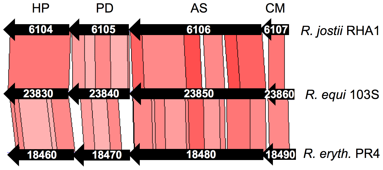 Structure of the chromosomal locus of the putative chorismate mutase (CM) and anthranilate synthase (AS) genes REQ23860 and REQ23850.