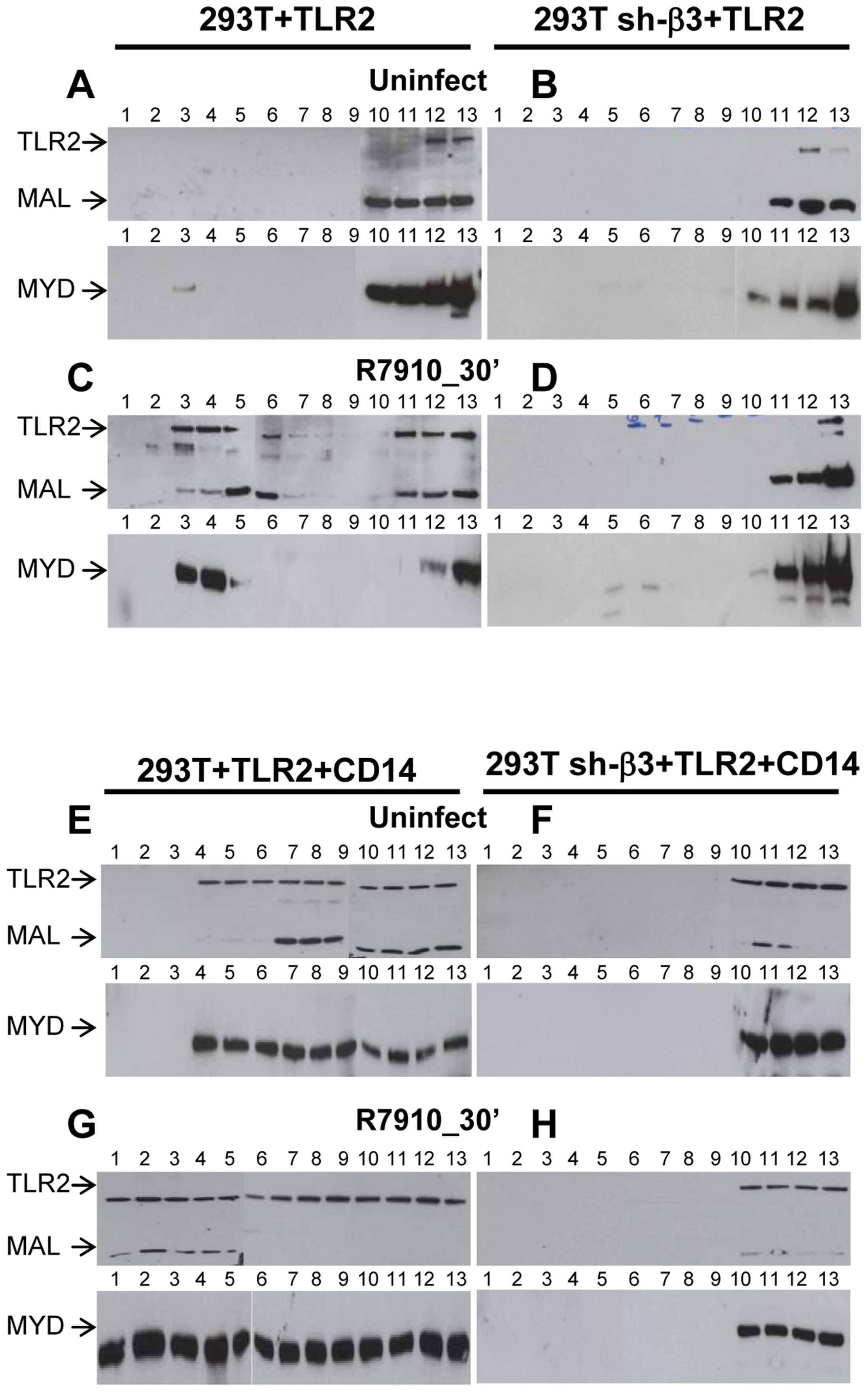 Lipid rafts serve as platforms for the αvβ3-integrin-dependent re-localization of TLR2, MAL and MYD88.