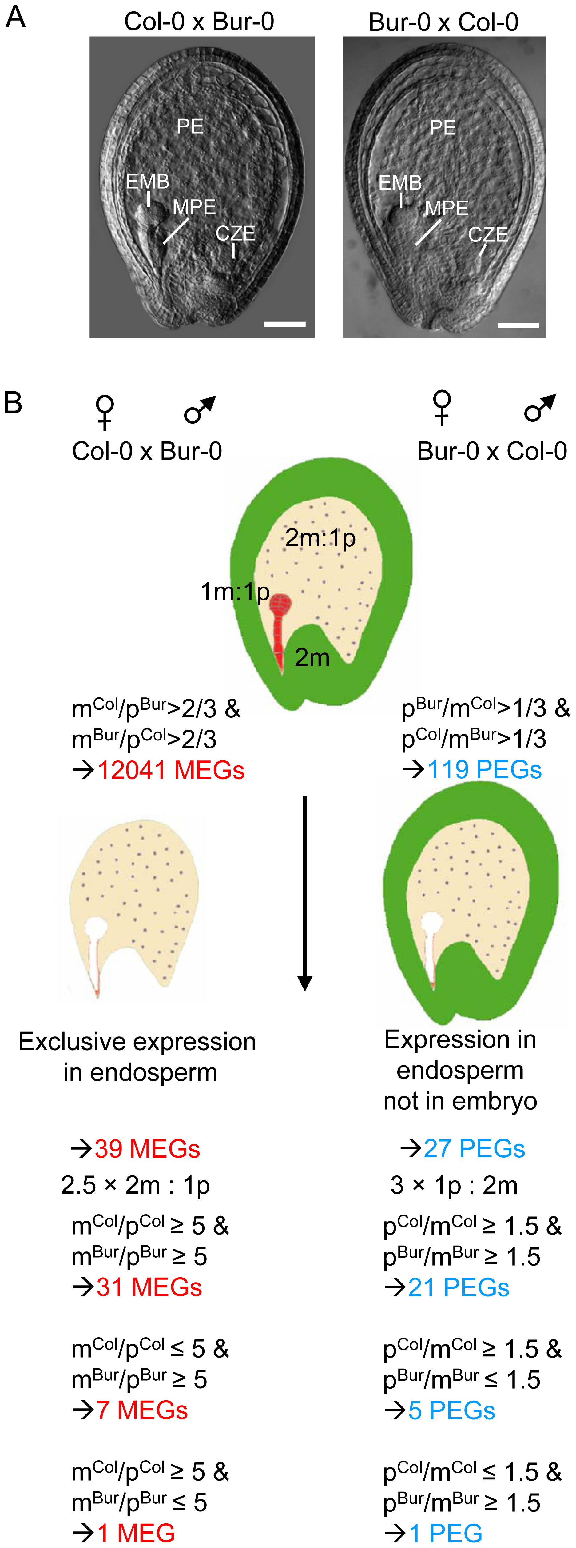 Scheme of Experimental Procedures Leading to the Identification of MEGs and PEGs in Arabidopsis.