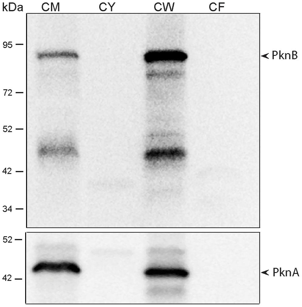 Subcellular localization of <i>M. tuberculosis</i> PknB.