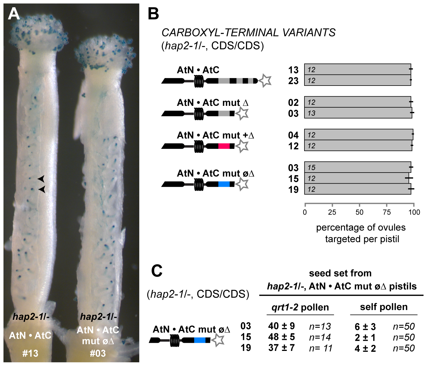 AtN•AtC mut øΔ is a hypomorph of HAP2(GCS1) that affects only male fertility.