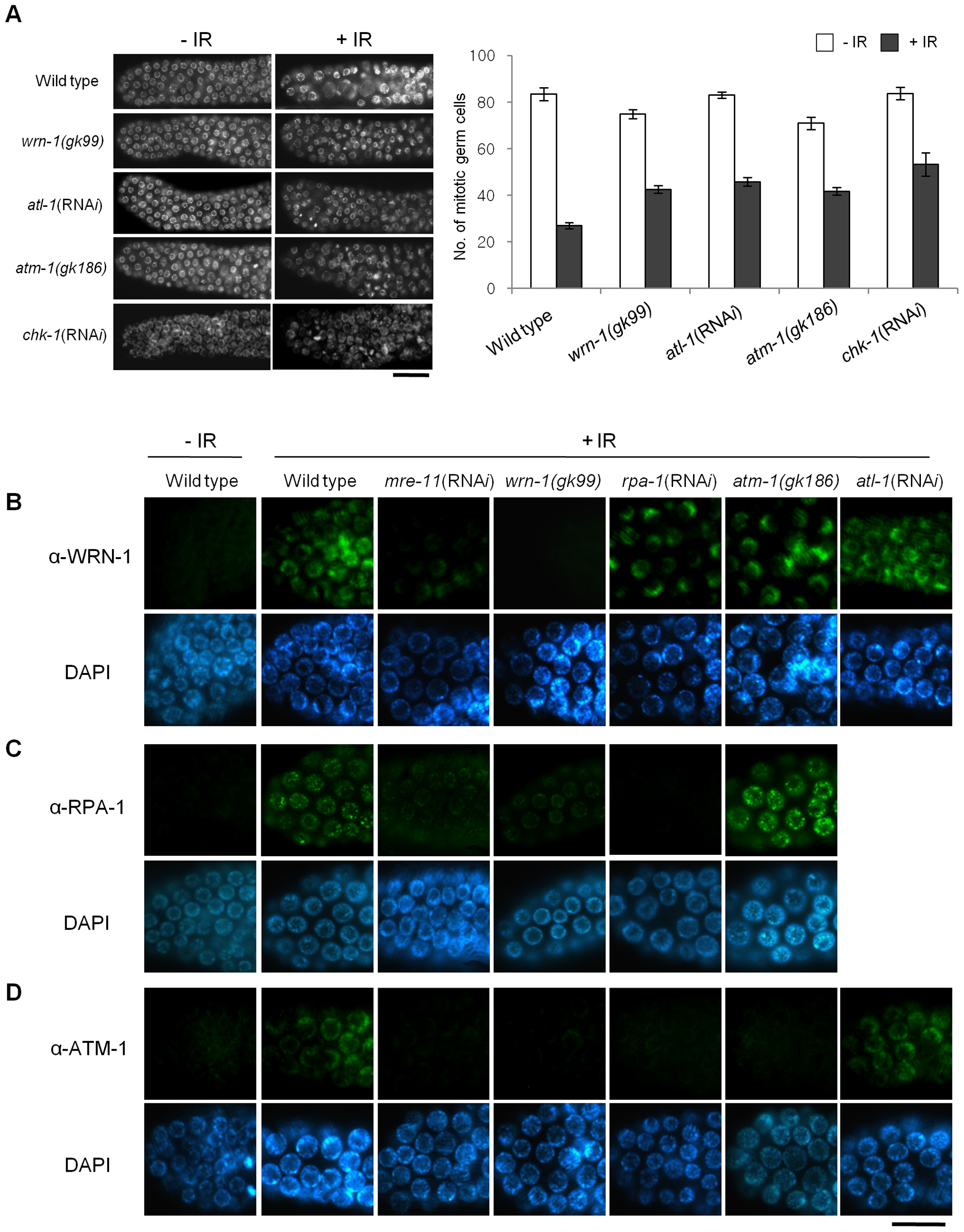 WRN-1 influences cell cycle arrest and the nuclear localization of ATM-1 and RPA-1 after γ-irradiation.
