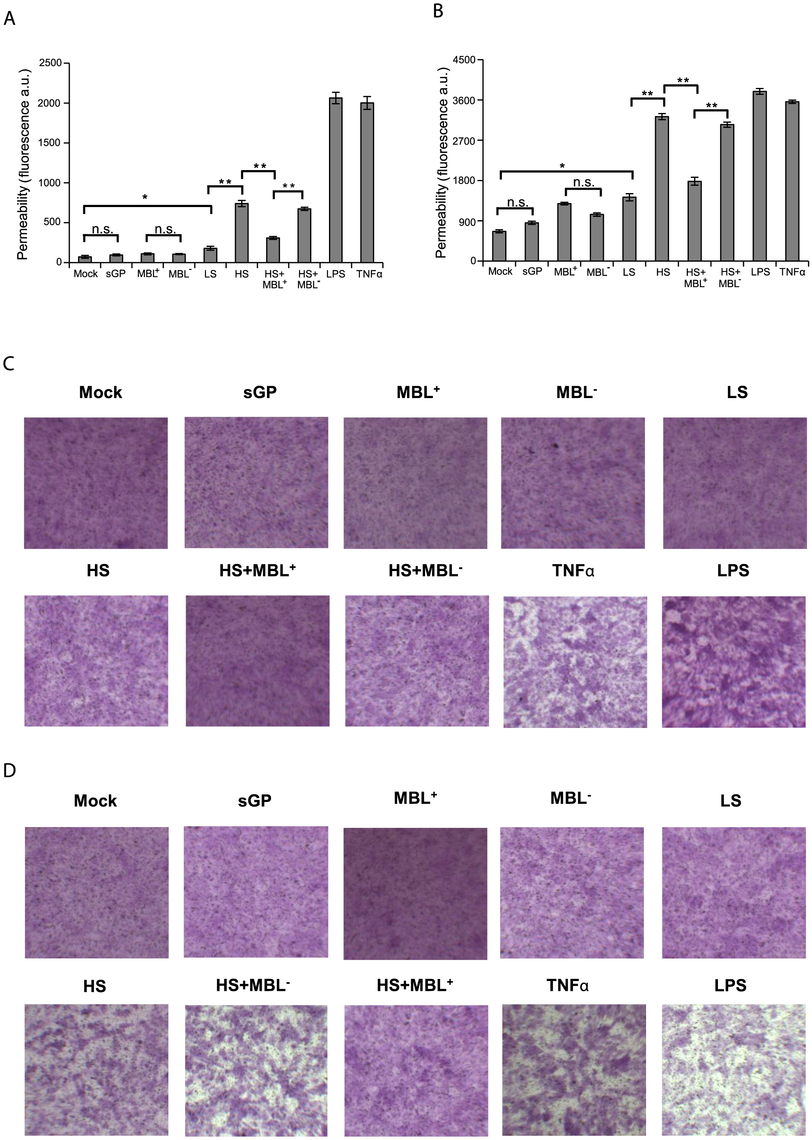 EBOV Shed GP increases cell permeability of HUVEC in vitro.