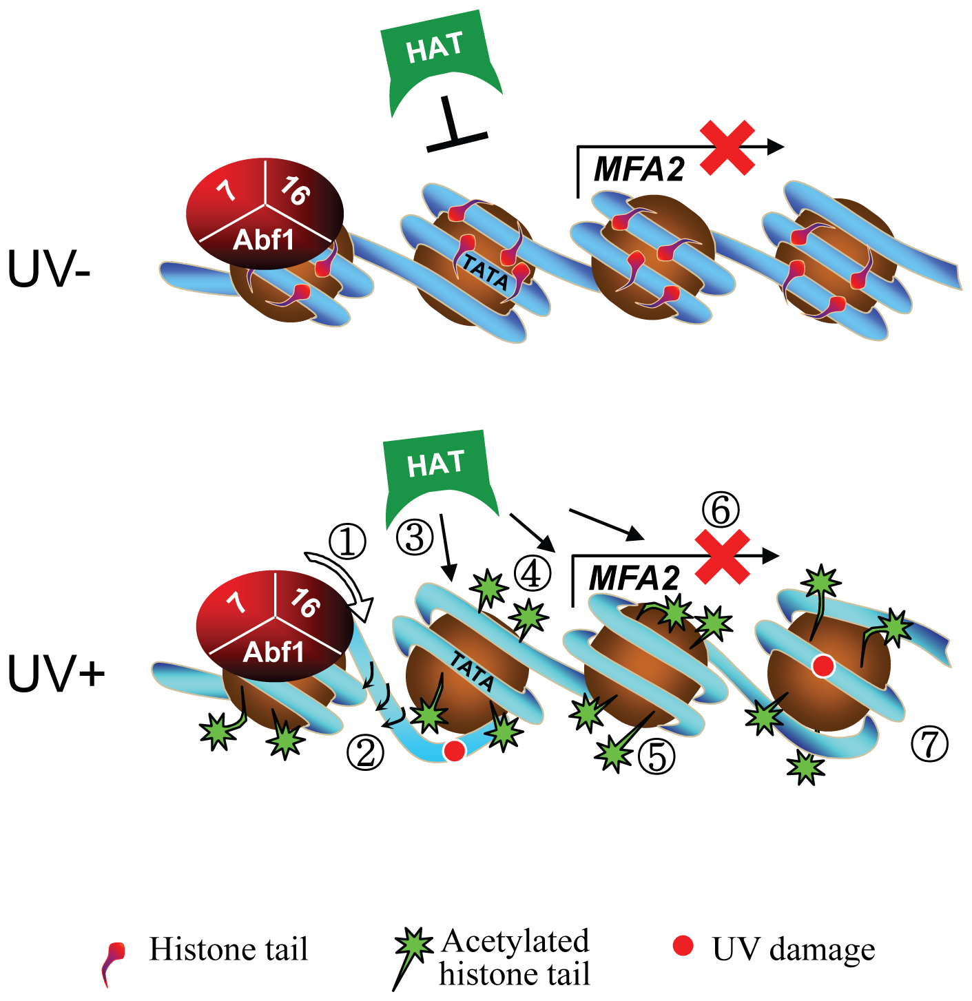 Model for UV-induced chromatin remodeling during GG-NER.