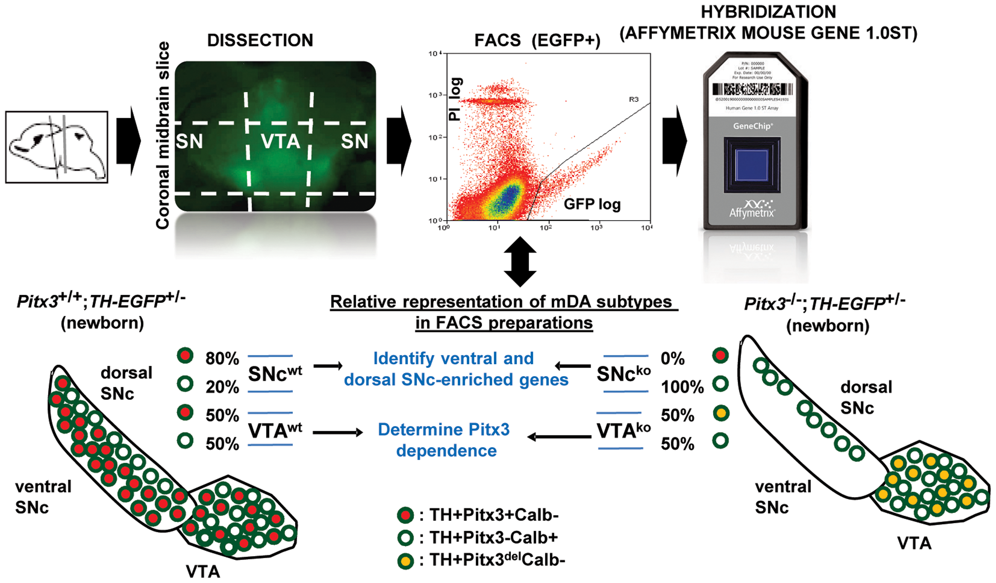 Strategy for isolation of FACS-purified Pitx3-dependent (red) and Pitx3-independent (white) mDA neurons for expression profiling analysis.