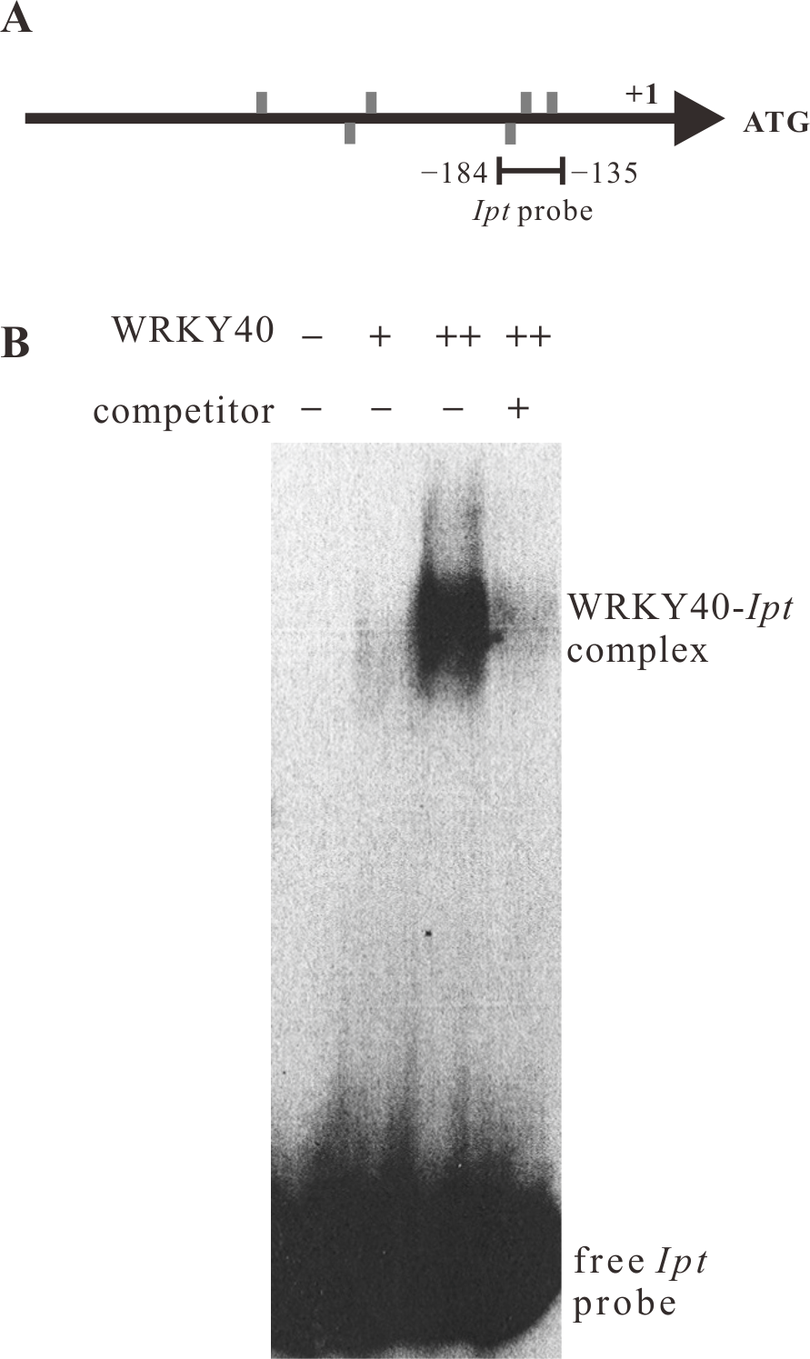 WRKY40 binds to the <i>Ipt</i> promoter <i>in vitro</i>.