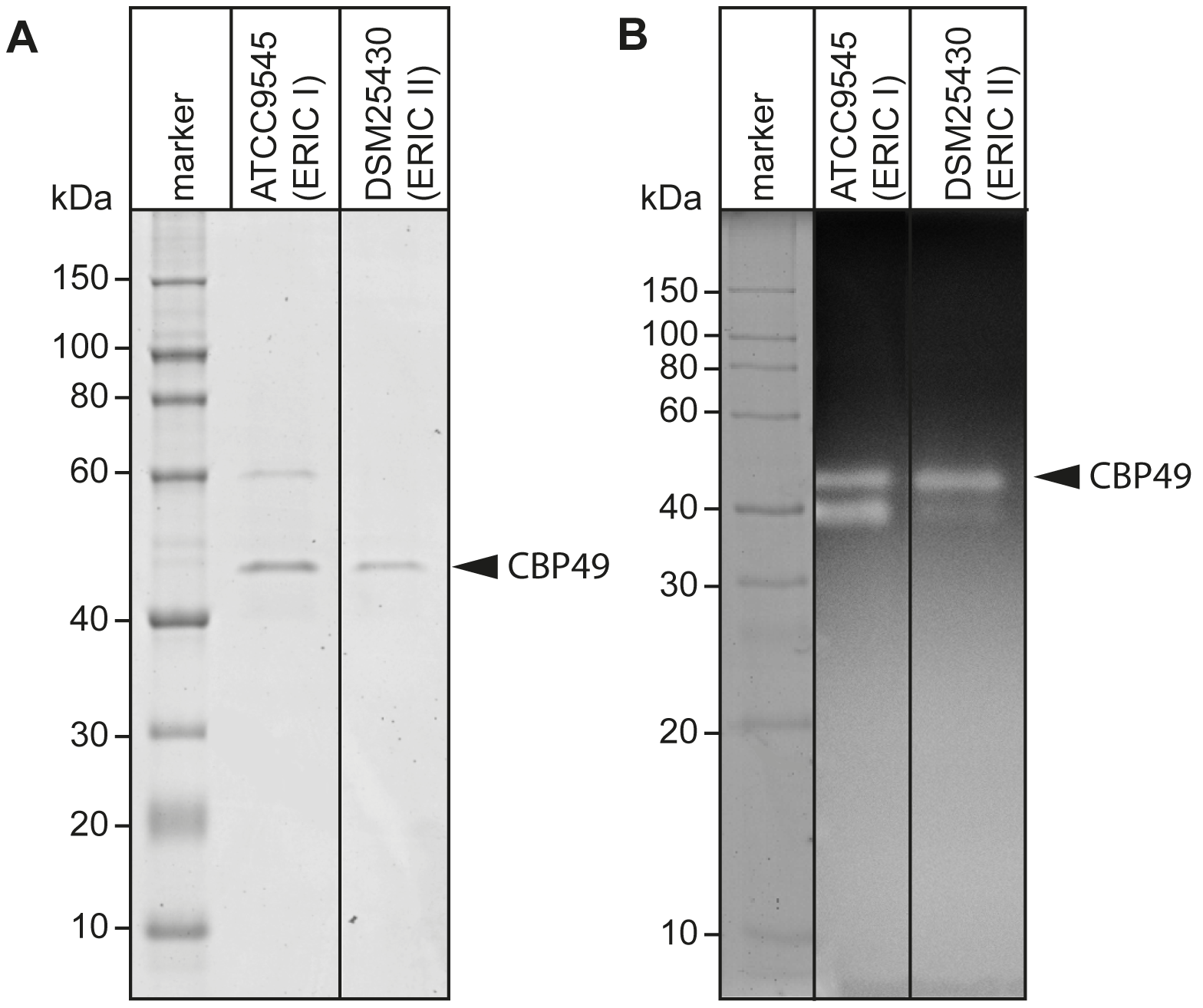 Identification of chitin-binding and –degrading proteins in the supernatants of cultured <i>P. larvae</i>.