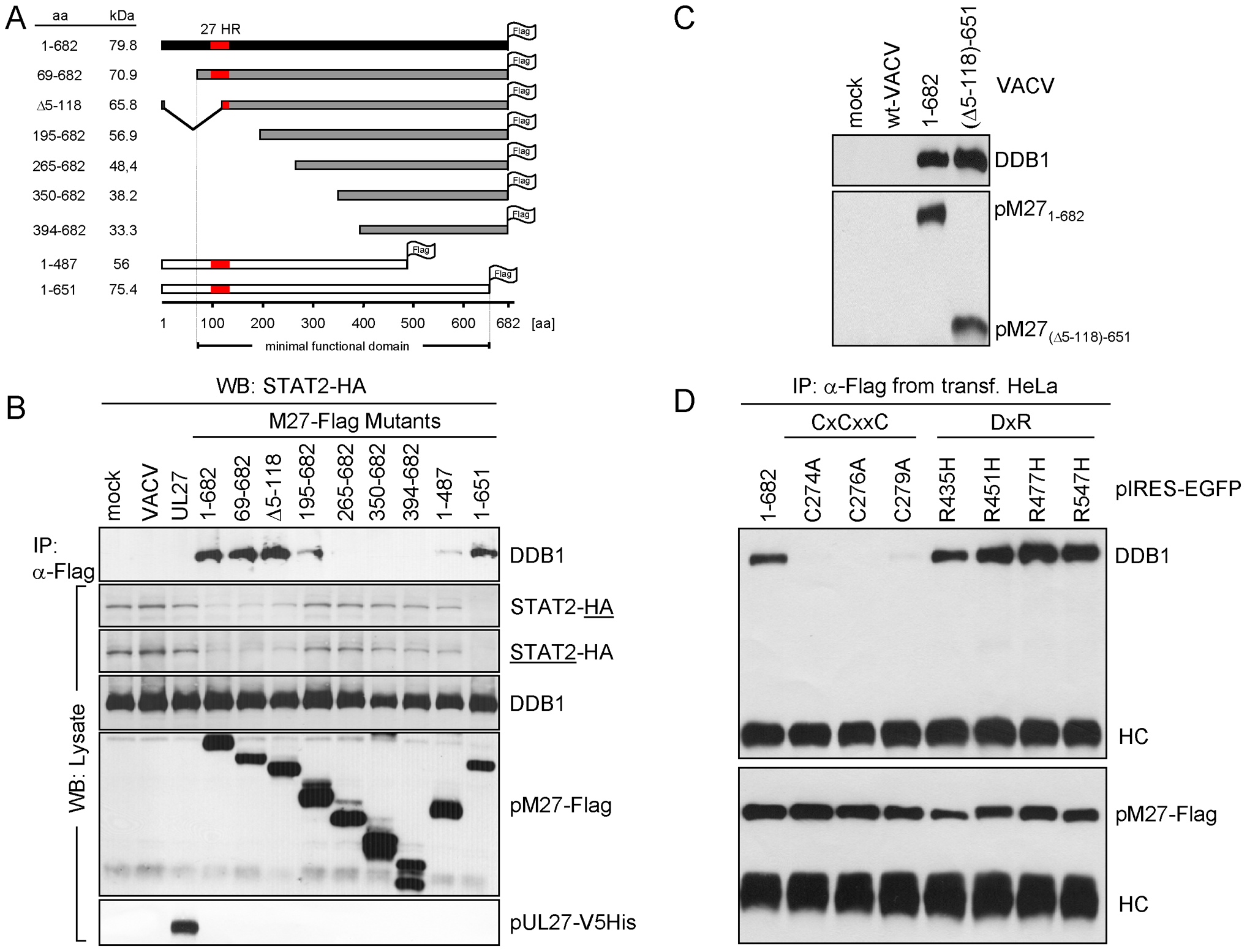 Truncation analysis of pM27-Flag indicates correlation between DDB1 binding and STAT2 degradation.