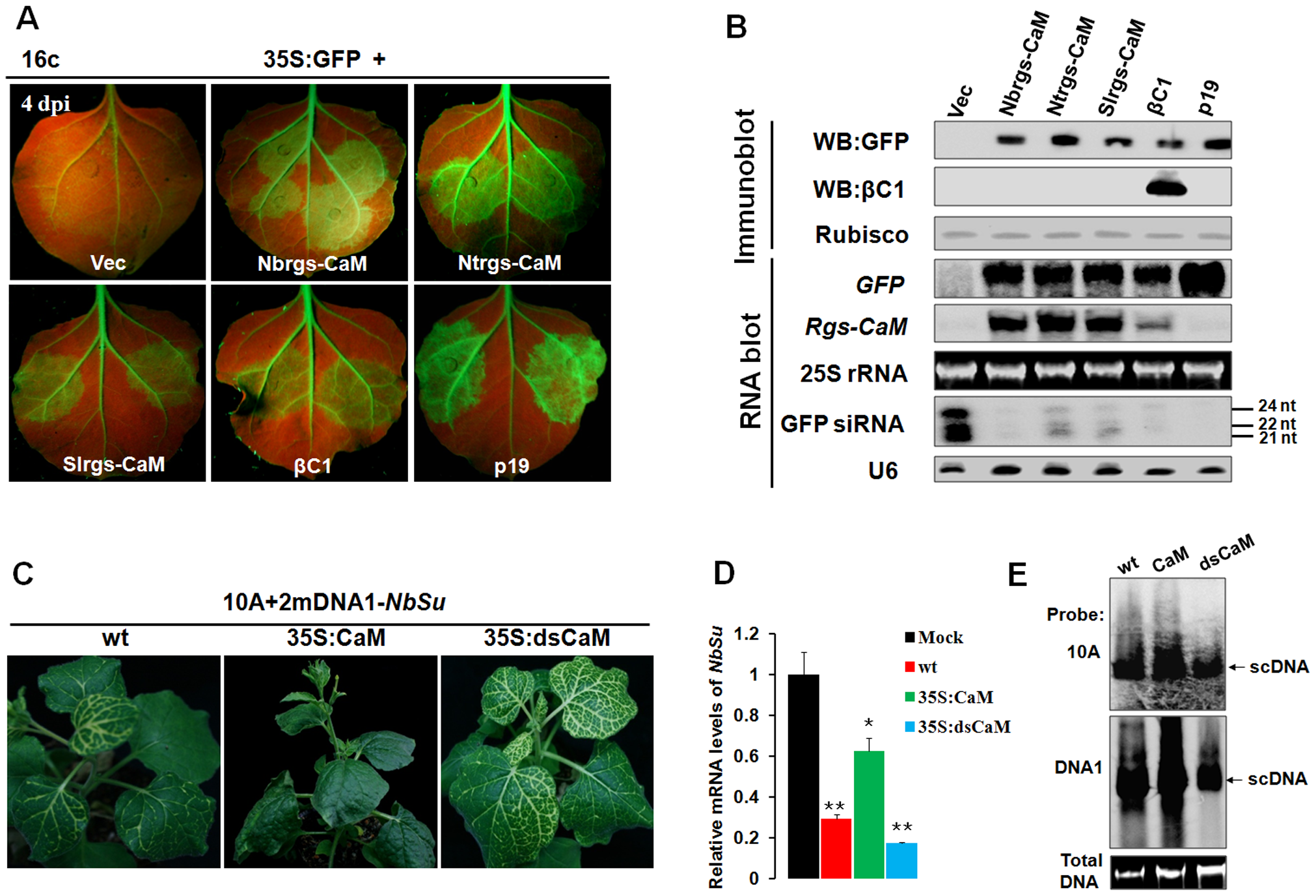 Nbrgs-CaM suppresses PTGS of GFP and VIGS of an endogenous gene.