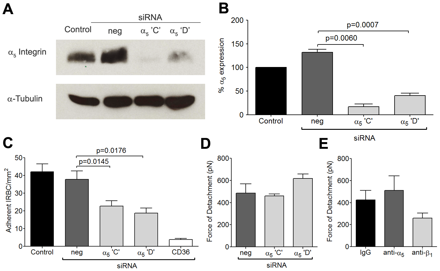 Inhibition of cytoadherence but not adhesive strength on HDMEC transfected with small interference RNA of α<sub>5</sub> integrin.