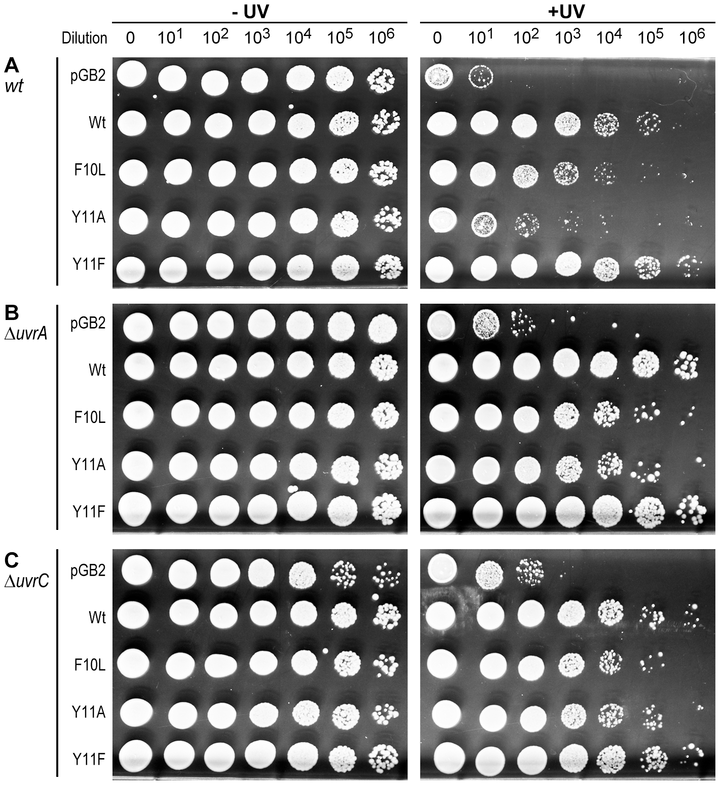 Role of NER in strains expressing pol V variants.