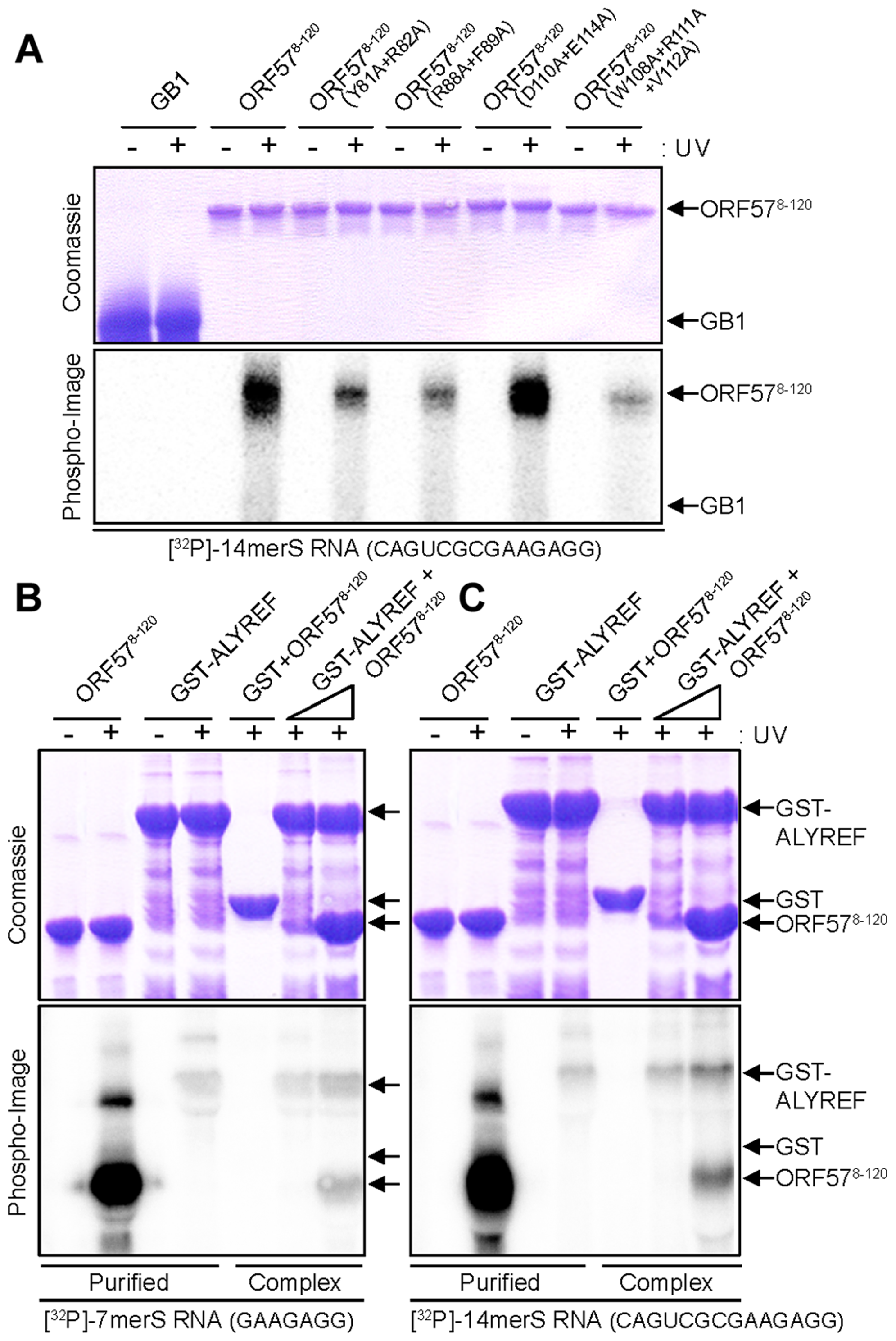 Probing ORF57-RNA binding by mutations and UV cross-linking, and ALYREF-ORF57-RNA remodeling assay.