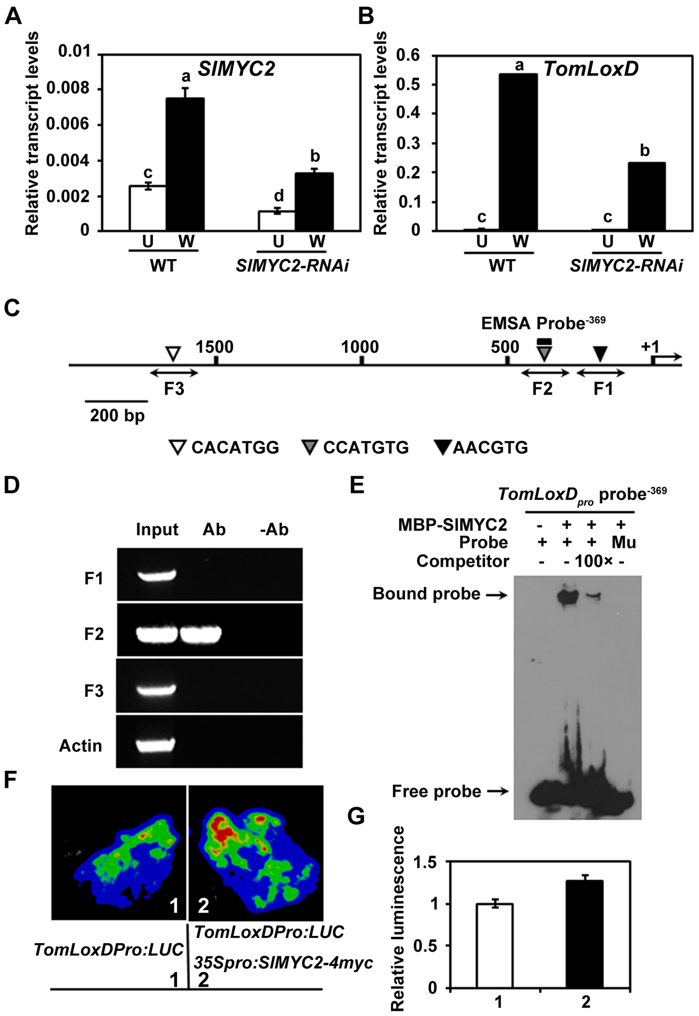SlMYC2 regulates <i>TomLoxD</i> expression through a direct association with its promoter.