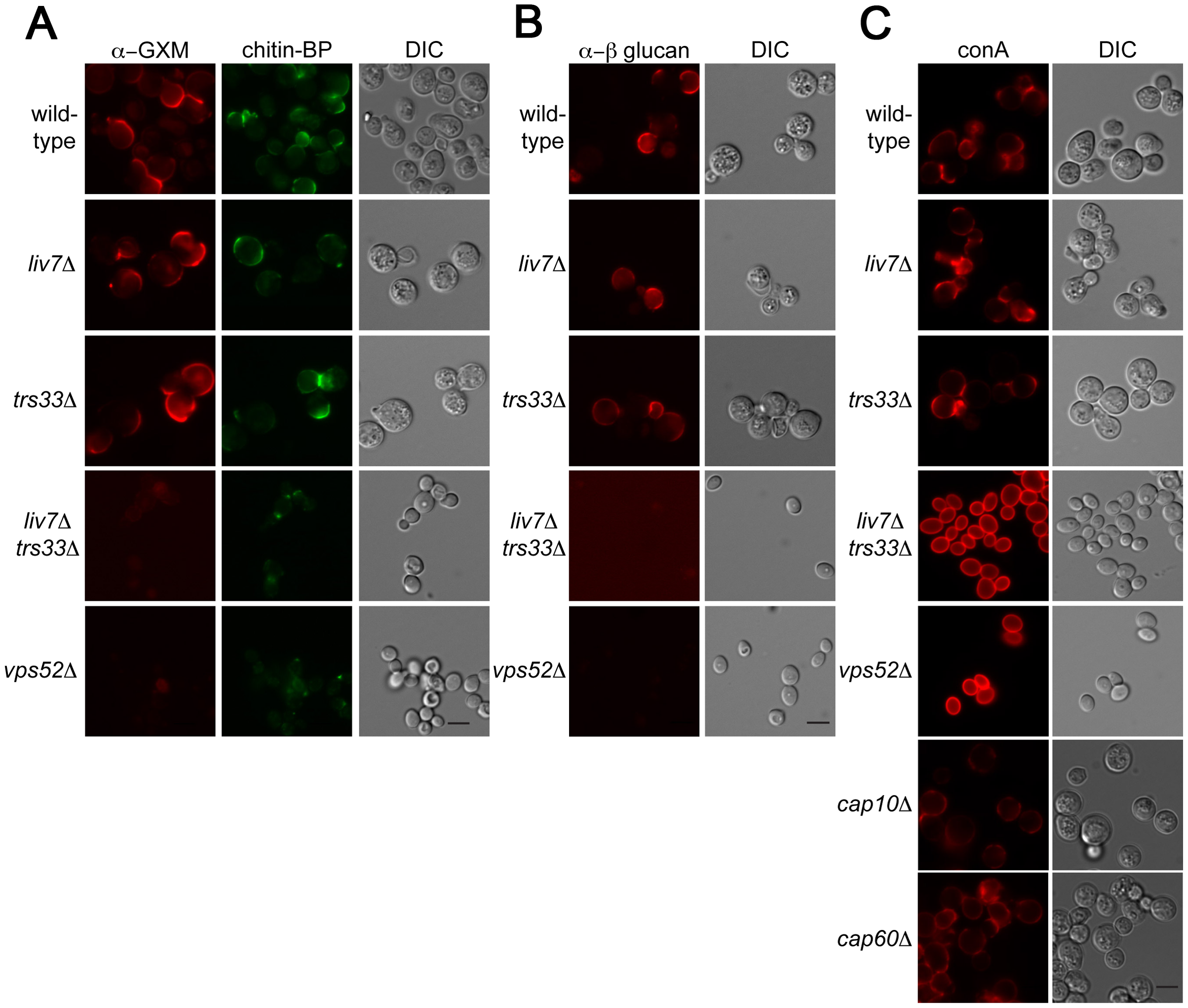 Lectin staining of surface of <i>liv7</i>Δ <i>trs33</i>Δ cells reveals a role for Liv7/Trs33 in PAMP shielding.