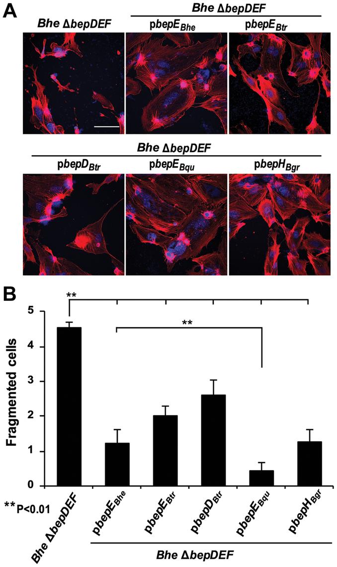 Expression of BepE<i><sub>Bhe</sub></i> homologues in the <i>Bhe</i> Δ<i>bepDEF</i> inhibit the cell fragmentation phenotype.