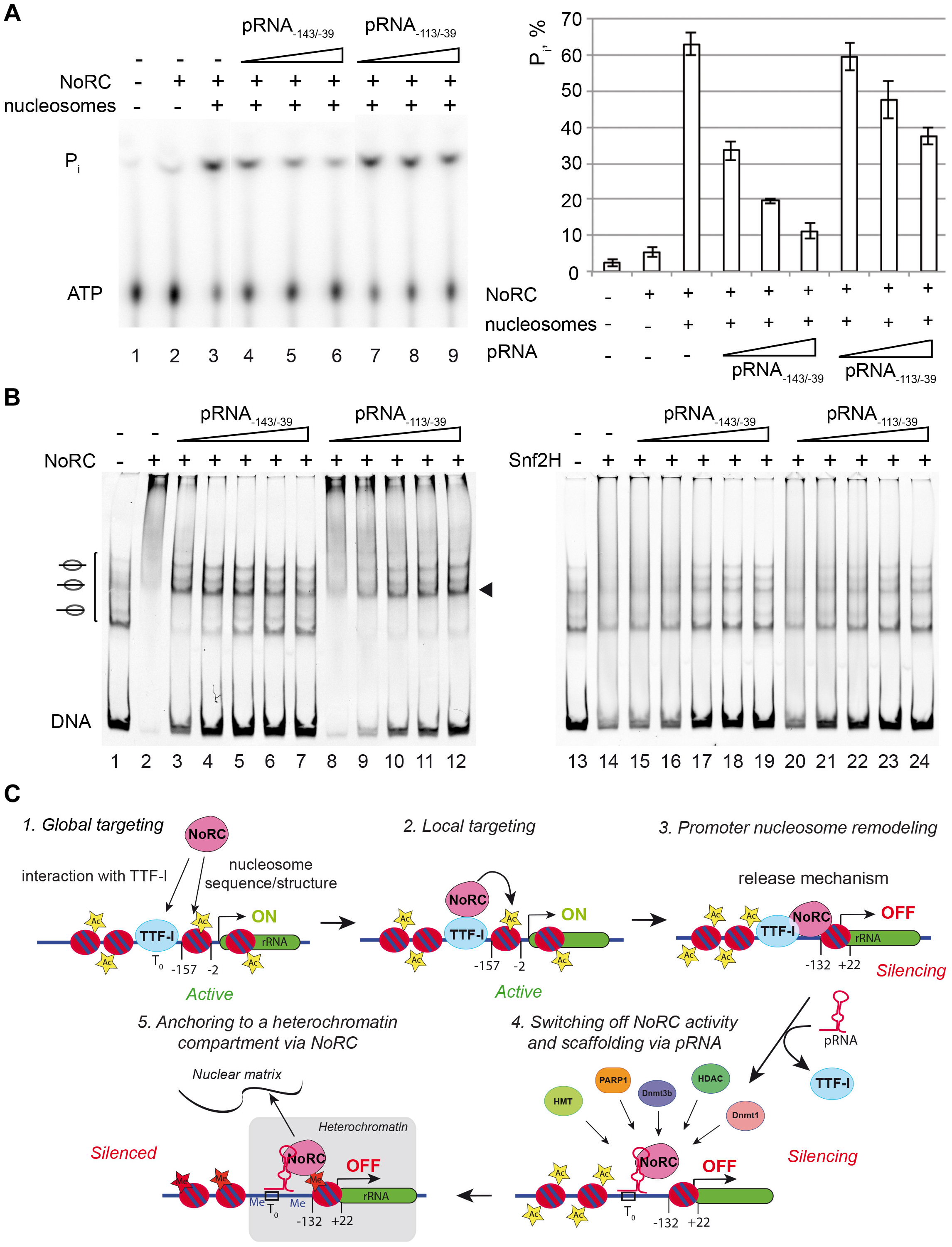 Nucleosomes and pRNA compete for the binding of NoRC.
