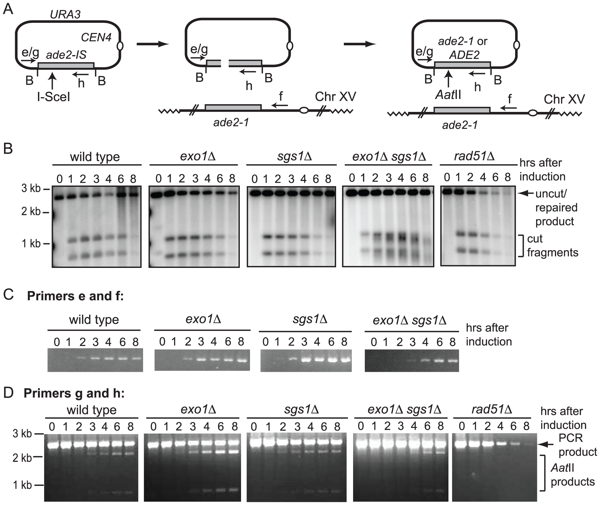 Gene conversion assay.