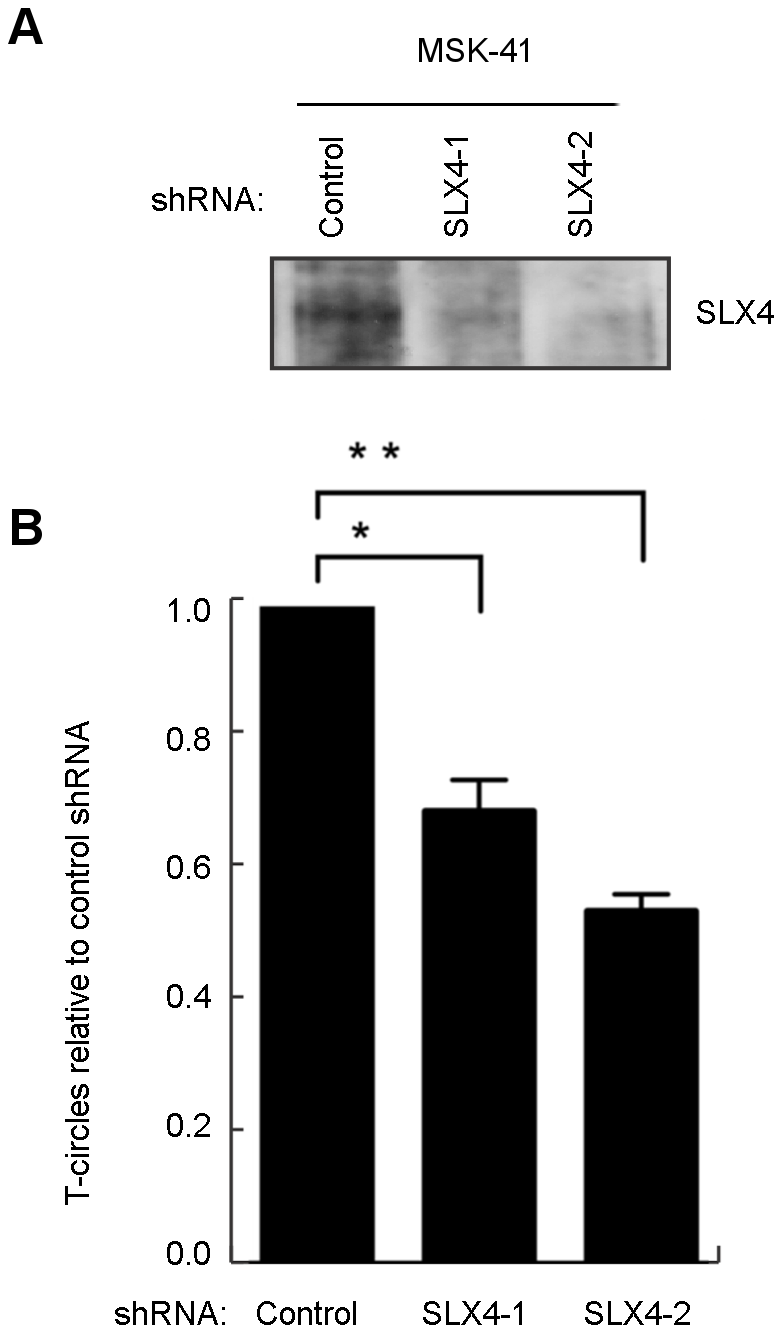 T-circle formation in MSK-41 cells is dependent on SLX4.