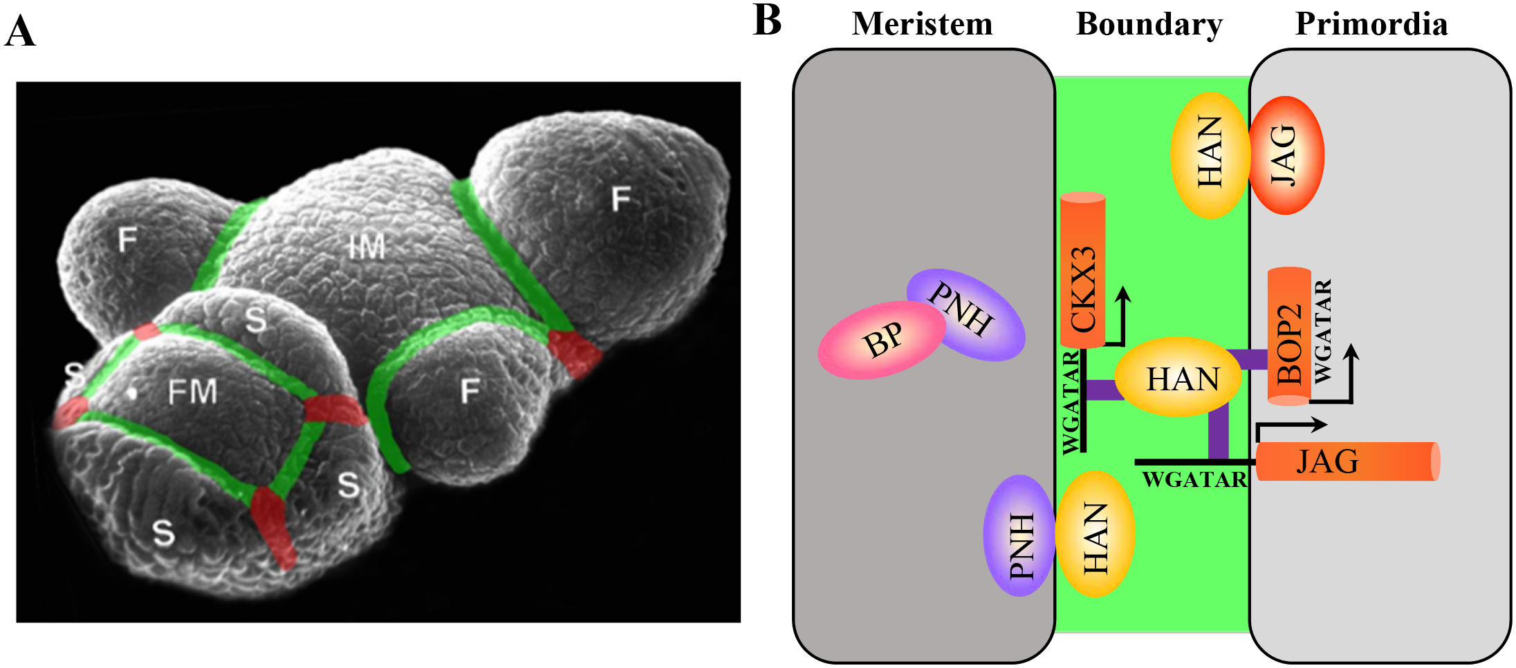 Regulatory interactions between boundary, meristem and floral organ primordia in <i>Arabidopsis</i>.