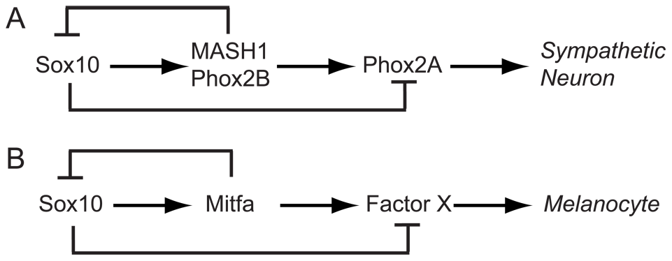 Sox10 function in specification and differentiation of neural crest.