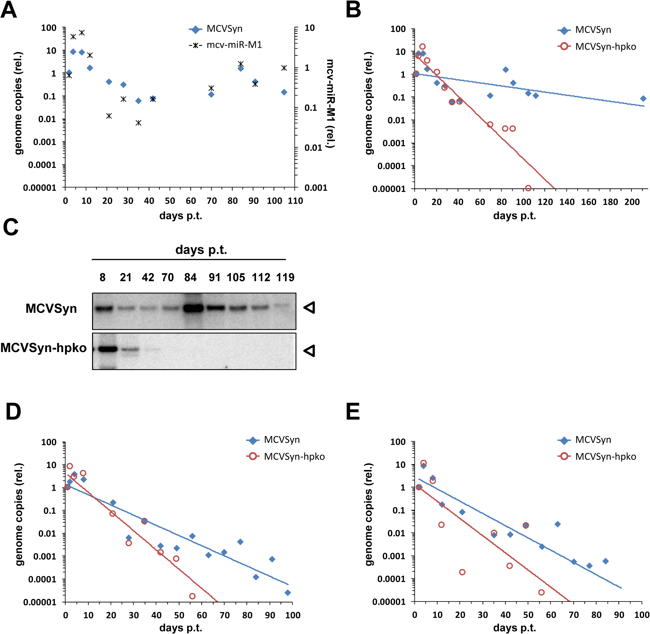 A mcv-miR-M1 knockout mutant is impaired in long-term persistence.