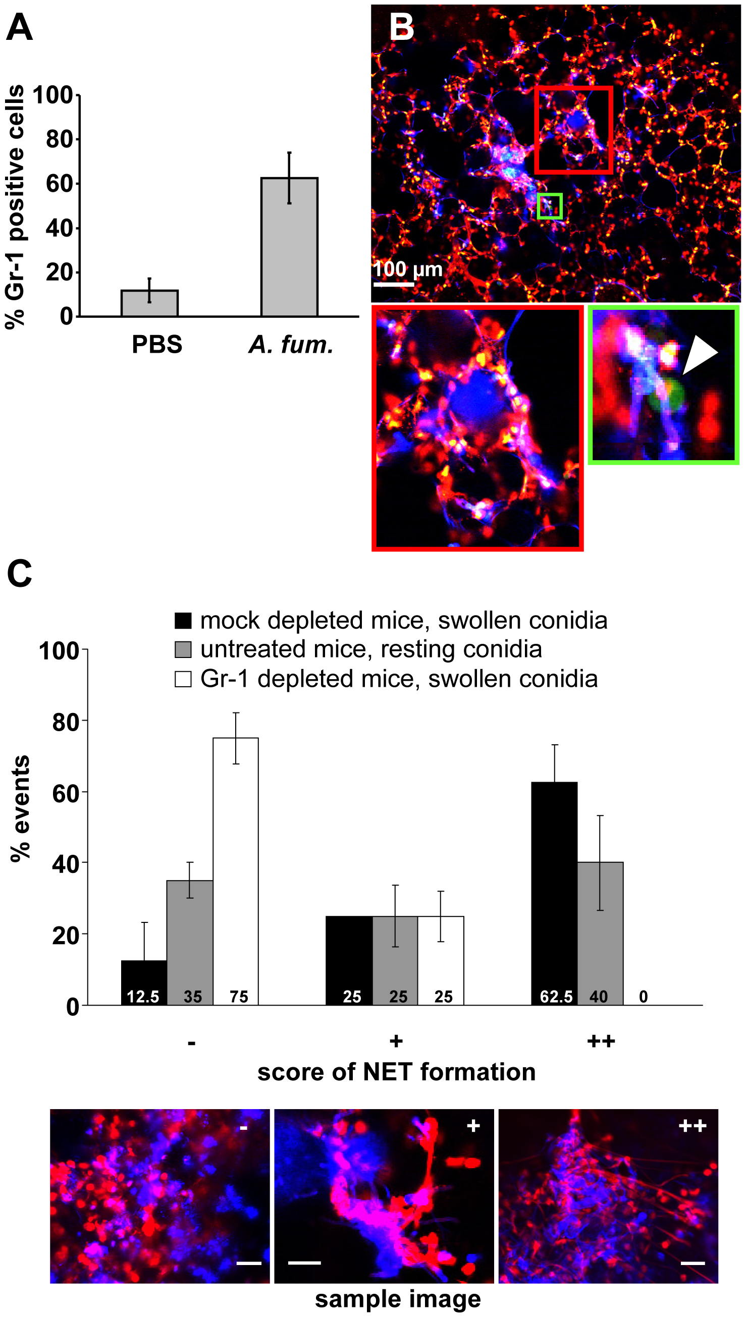 NET formation <i>in vivo</i> is dependent on the presence of newly immigrating neutrophils.