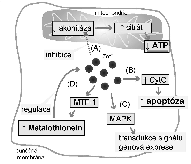 Účinky zinečnatých iontů<br> Legenda: Zinečnaté ionty způsobují akumulaci citrátu (a proto i změnu energetického metabolismu buněk) (a) inhibicí mitochondriální akonitázy přeměňující citrát na izocitrát. Prostatické buňky tak produkují výrazně méně ATP; (b) Zn<sup>2+</sup> působí proapoptoticky zvýšením uvolňování cytochromu C (CytC) z mitochondrií; (c) Zn<sup>2+</sup> funguje jako signální molekula a ovlivňuje tak zejména genovou expresi působením na mitogen-aktivované proteinové kinázy (MAPK); (d) Zn<sup>2+</sup> indukuje expresi metalothioneinu (MT) prostřednictvím jeho regulačního proteinu Metal-regulatory transcription factor-1 (MTF-1), čímž MT ovlivňuje intracelulární hladinu volných Zn<sup>2+</sup>.