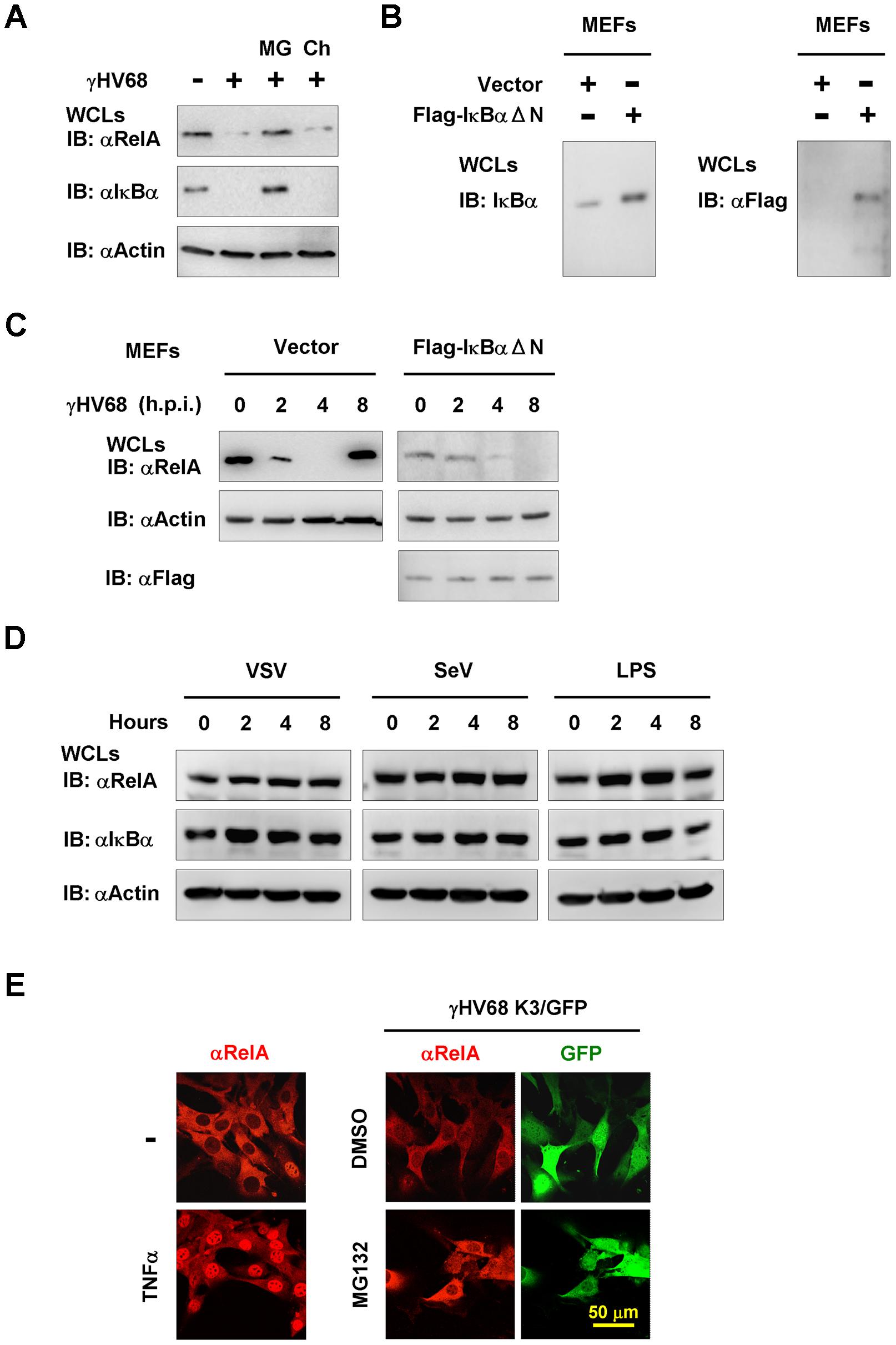 γHV68 infection induces RelA degradation in an IκBα-independent manner.
