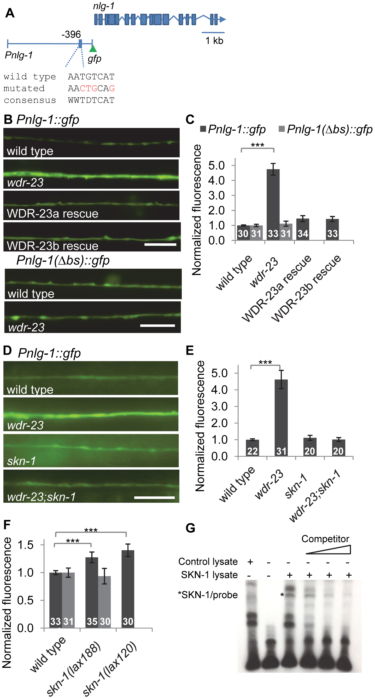 <i>nlg-1</i> transcription is regulated by neuronal SKN-1.