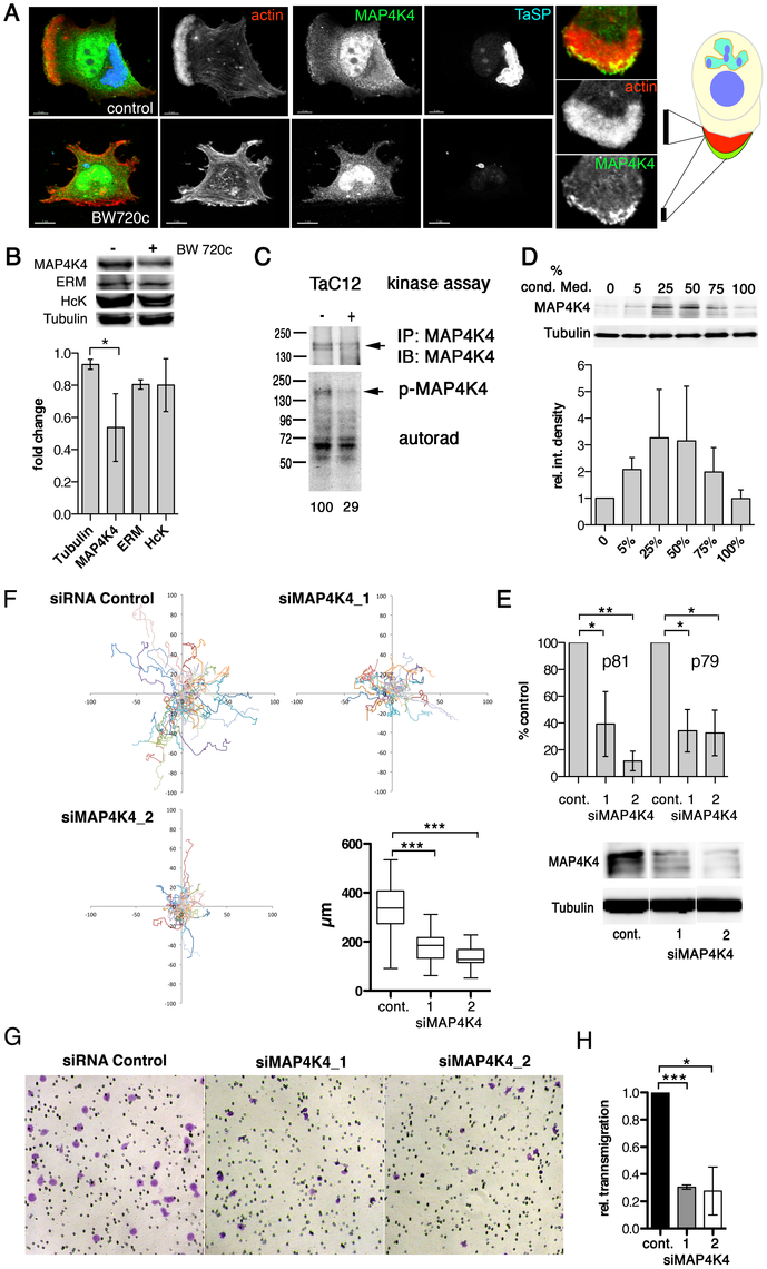 MAP4K4 promotes host cell motility and TNFα-induced invasiveness.