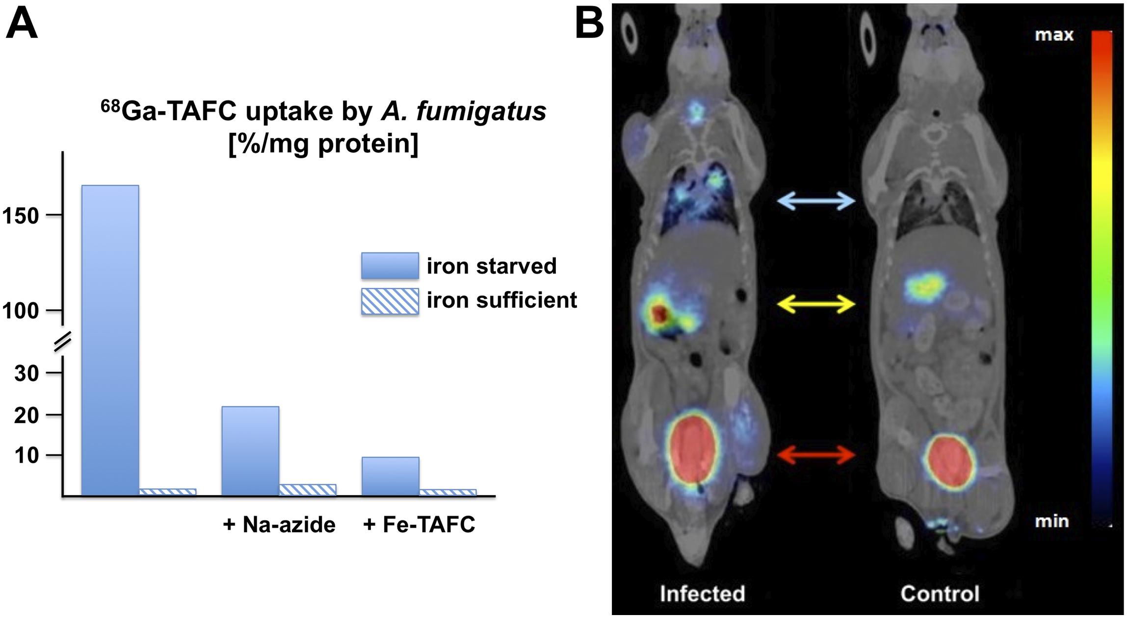 In vitro and in vivo uptake of <sup>68</sup>Ga-TAFC by <i>A. fumigatus</i>.