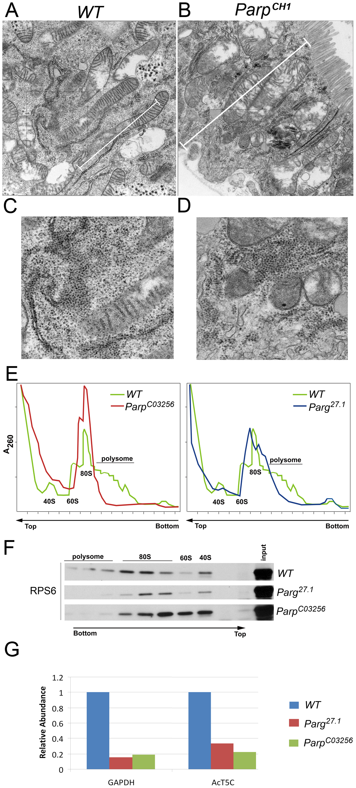 PARP1 is required for ribosomal biogenesis.