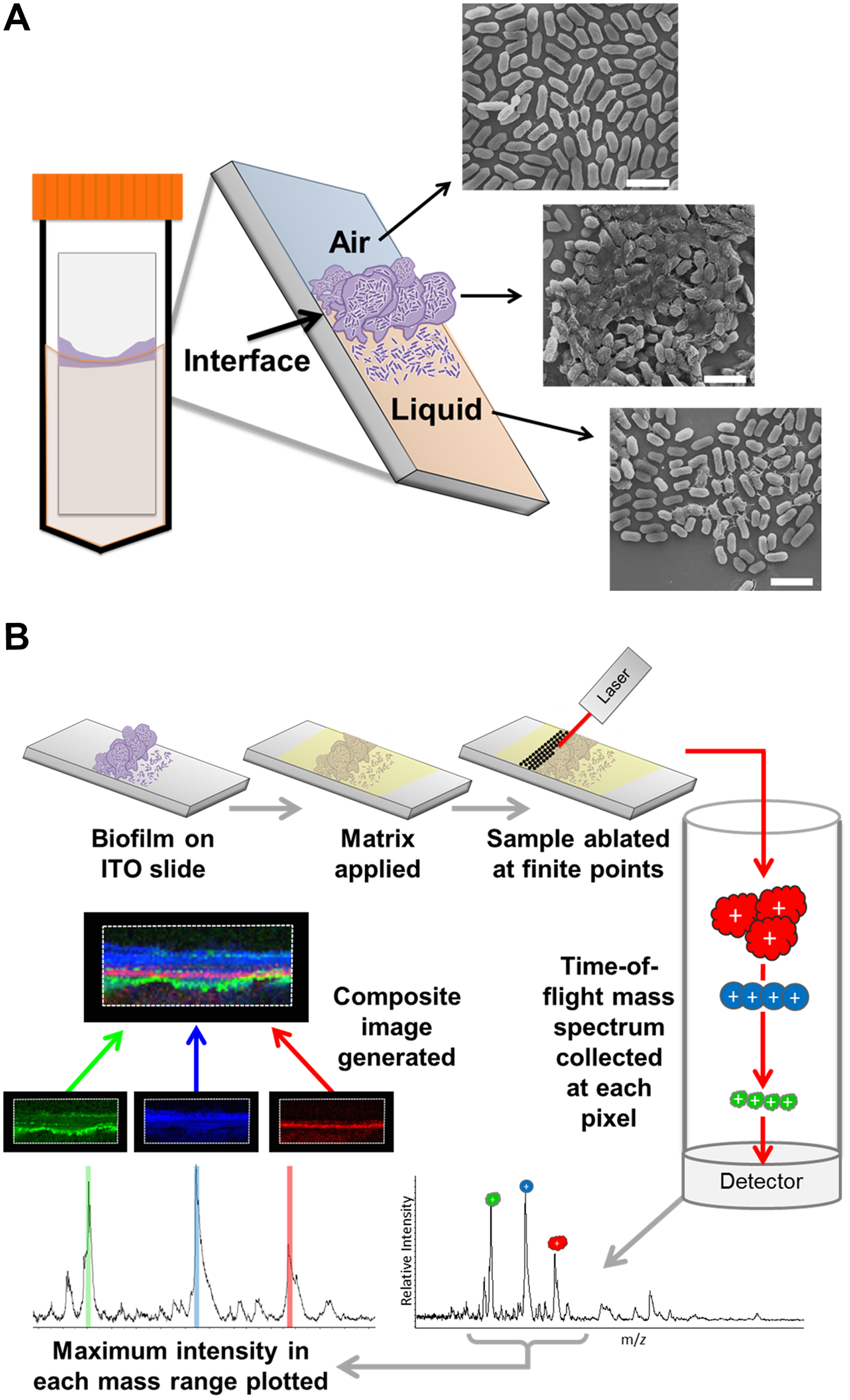 MALDI IMS as a tool to dissect the spatial proteome of bacterial biofilms.