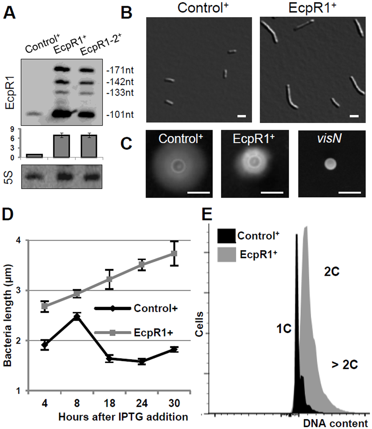 Elongated cell phenotype induced by <i>ecpR1</i> overexpression.